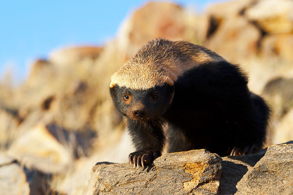 A honey badger standing on a rocky hill. This image is from Ultimate Honey Badger. [Photo of the day - ژوئن 2014]