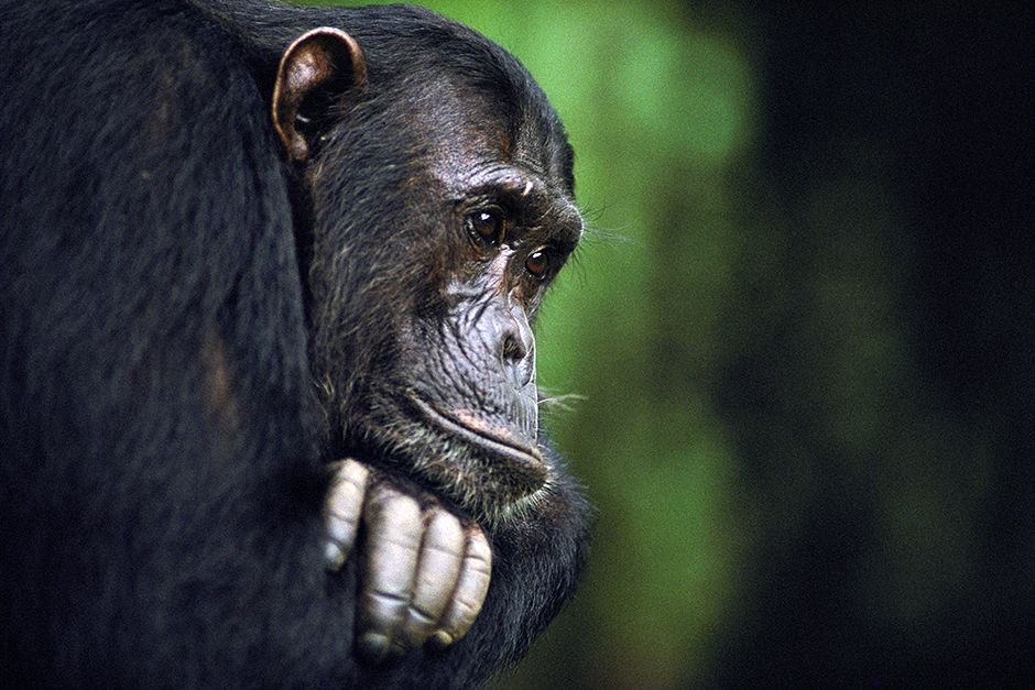 Frodo, a male chimpanzee, belongs to a family observed by Jane Goodall. This image is from... [Photo of the day - July 2014]