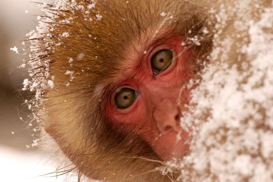 Jigokudani, Japan: A young monkey covered in snow looks to see if her sister is close by. Family... [Photo of the day - ژولیه 2014]