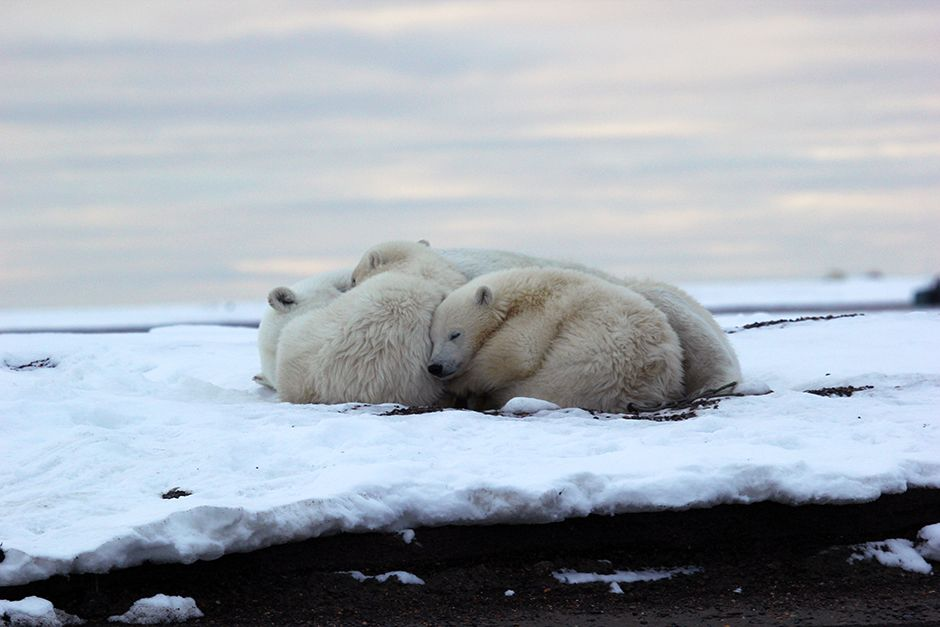 Kaktovik, Barter Island, Alaska, USA: Two polar bear cubs snuggle up to their mom before... [Photo of the day - ژولیه 2014]