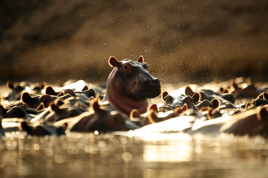 Hippo pods can reach numbers ranging from 80 to 800 members in one pod, guarded by a dominant... [Photo of the day - ژولیه 2014]
