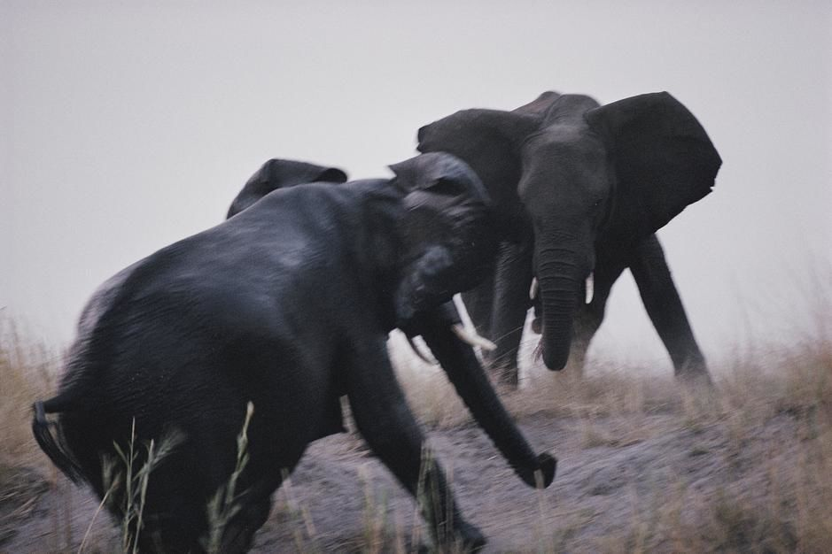 An elephant matriarch clashes with an intruder near the Chobe River in Chobe National Park.... [Photo of the day - August 2011]
