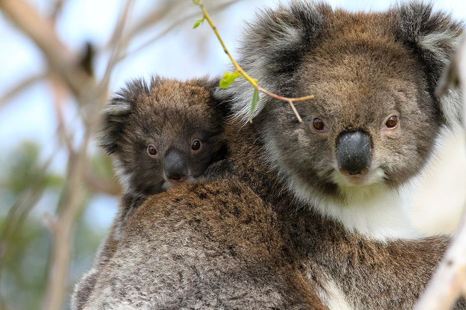 Victoria, Australia: There is only one species of koala (Phascolarctos cinereus). Koalas are... [Photo of the day - ژولیه 2014]