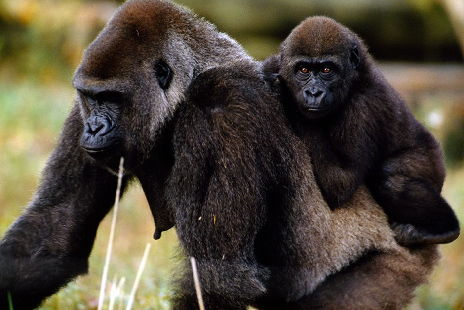 Democratic Republic of Congo: Young western low-land gorilla riding on its mothers back. This... [Photo of the day - ژولیه 2014]