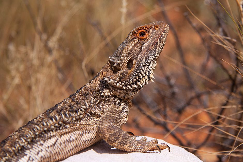 The central bearded dragon (Pogona vitticeps) is a species of agamid lizard occurring in a wide... [Photo of the day - ژولیه 2014]