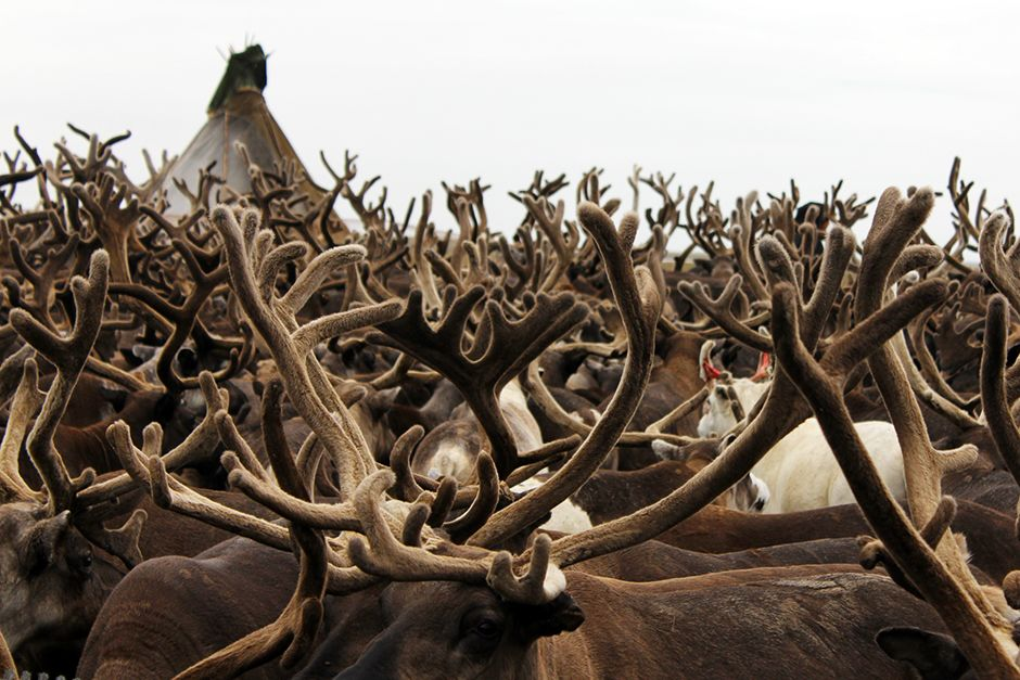 Yamal province, Russia: Reindeer antlers, August 2013. This image is from Mammoths Unearthed. [Photo of the day - July 2014]