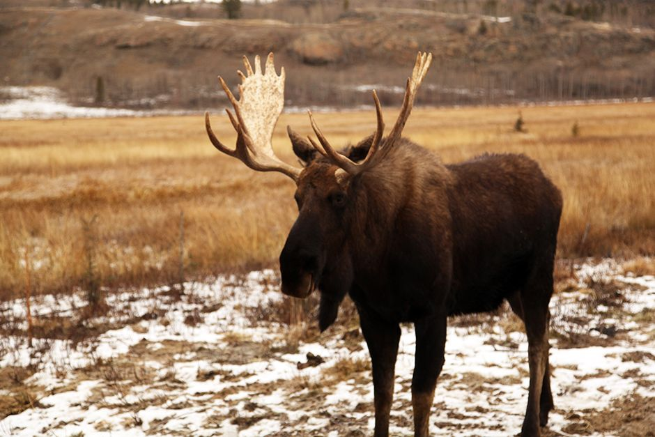 A moose at the Yukon Wildlife Preserve. This image is from Yukon Vet. [Photo of the day - July 2014]