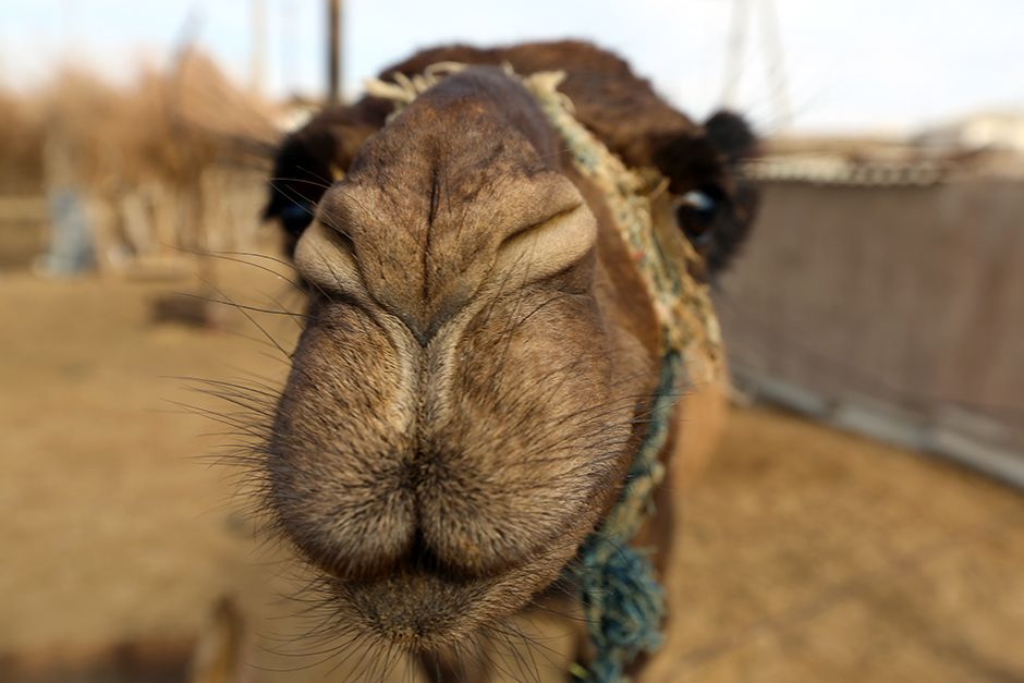 Darvaza, Karakum Desert, Turkmenistan: Indigenous camel selfie at the Darvaza Crater. This image... [Photo of the day - July 2014]