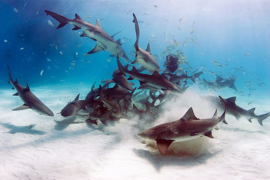 A school of lemon sharks (Negaprion brevirostris) stir up the white bottom as they scavenge for... [Photo of the day - August 2014]