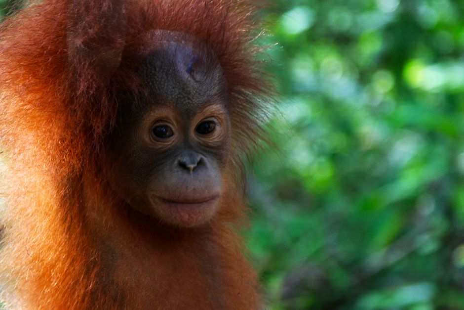 Ketapang, West Kalimantan, Indonesia: A very young orangutan in forest school as it stands on a... [Photo of the day - August 2014]