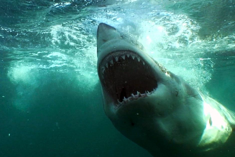 A great white shark. This image is from The Real Jaws. [Photo of the day - August 2014]
