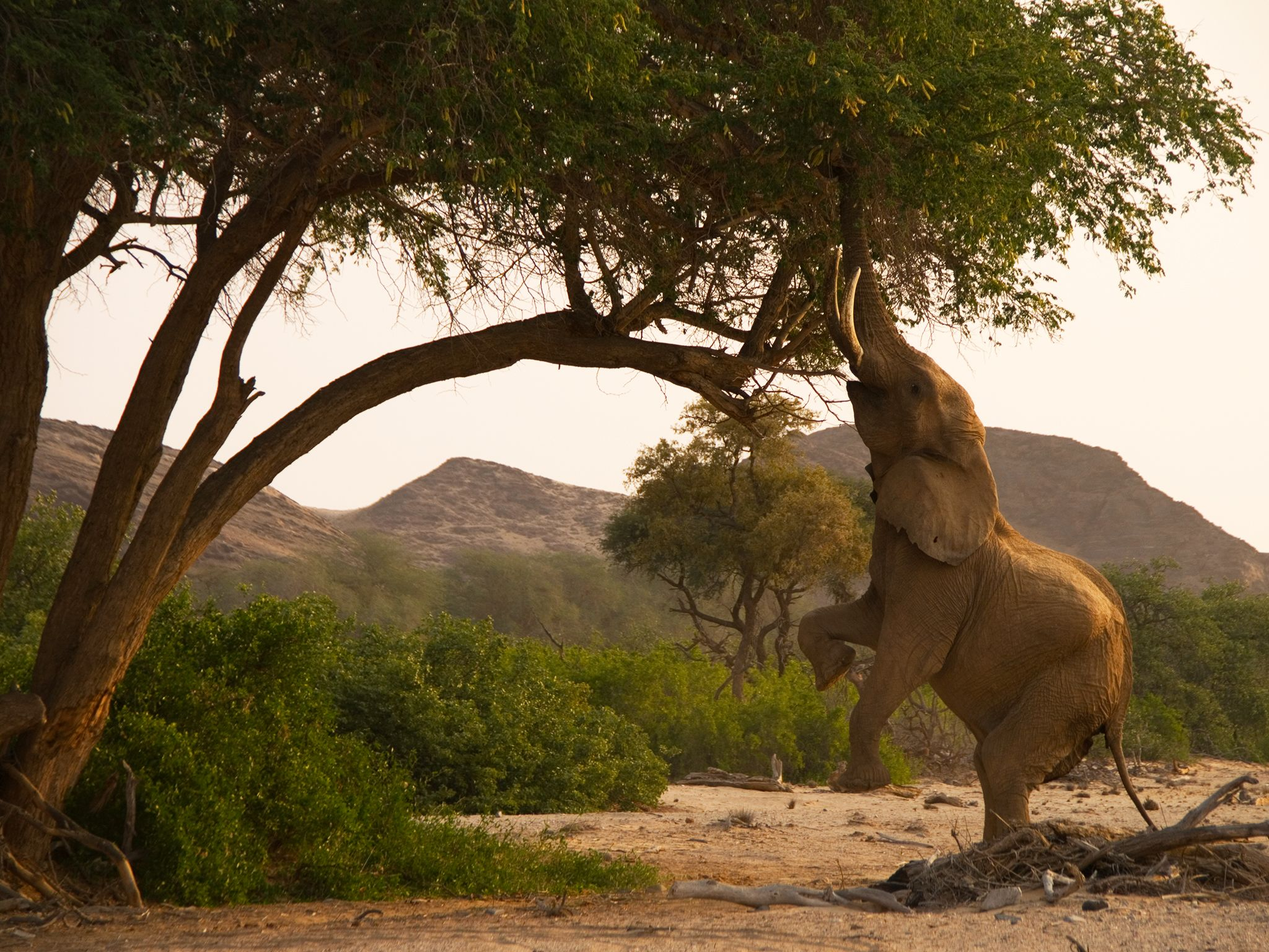 Elephant standing on its hind legs to reach tree leaves. This image is from Wild Namibia. [Photo of the day - سپتامبر 2014]