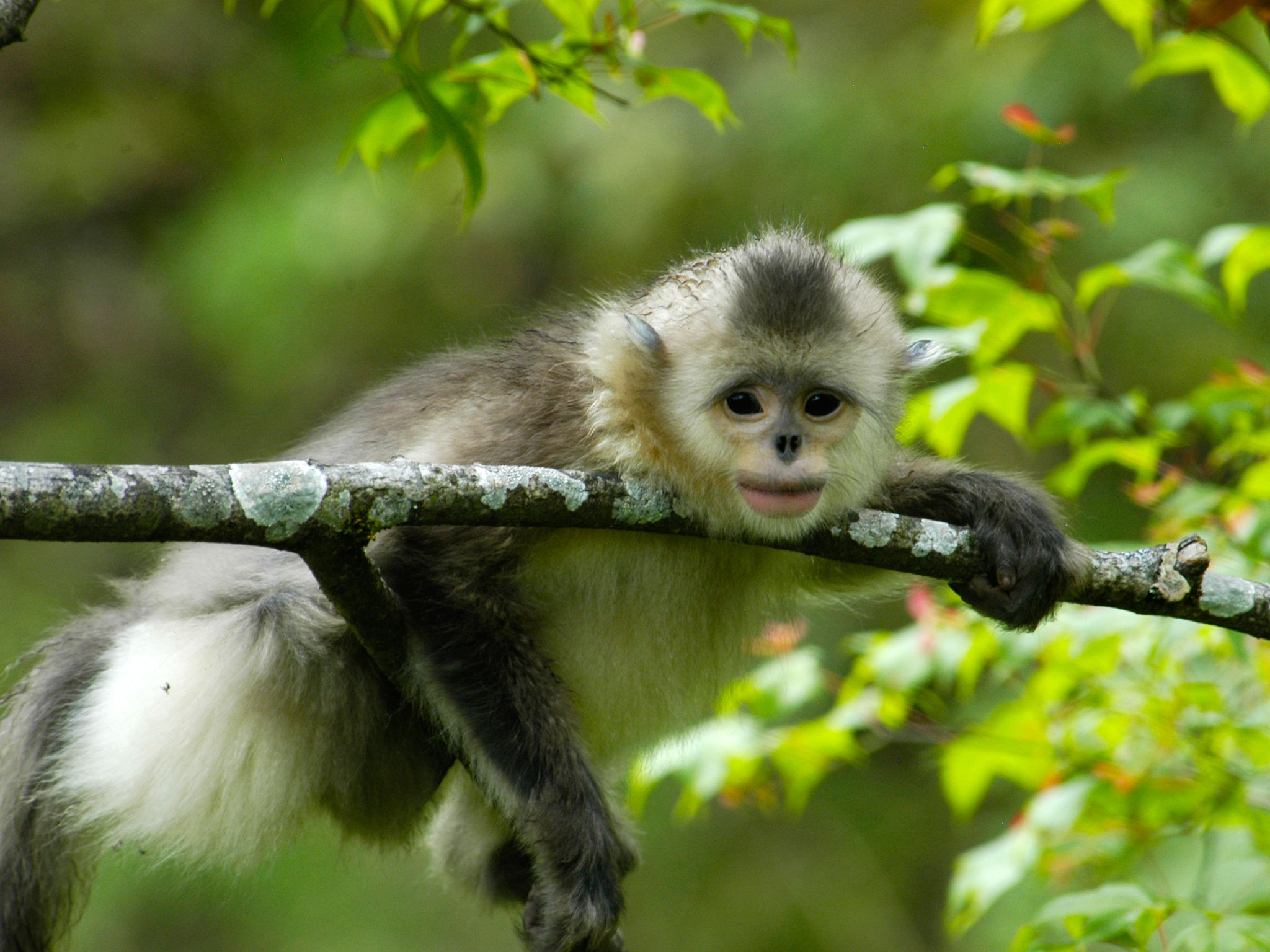 Adolescent Yunnan black and white snub nosed monkey resting on a tree branch in summer seems to... [Photo of the day - September 2014]