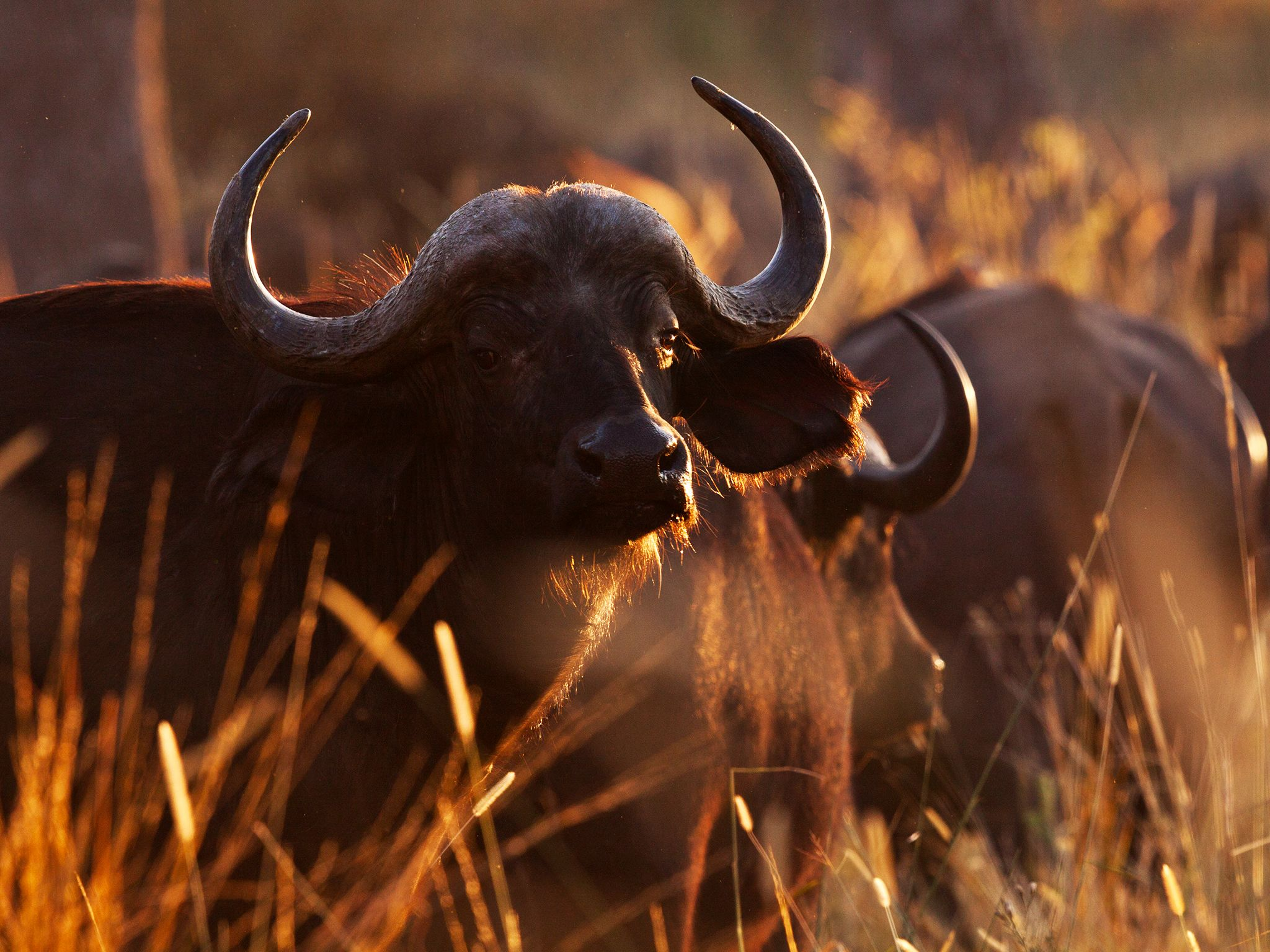 Moremi, Botswana: Cape buffalo have a strong herd instinct and will protect their kin from... [Photo of the day - September 2014]