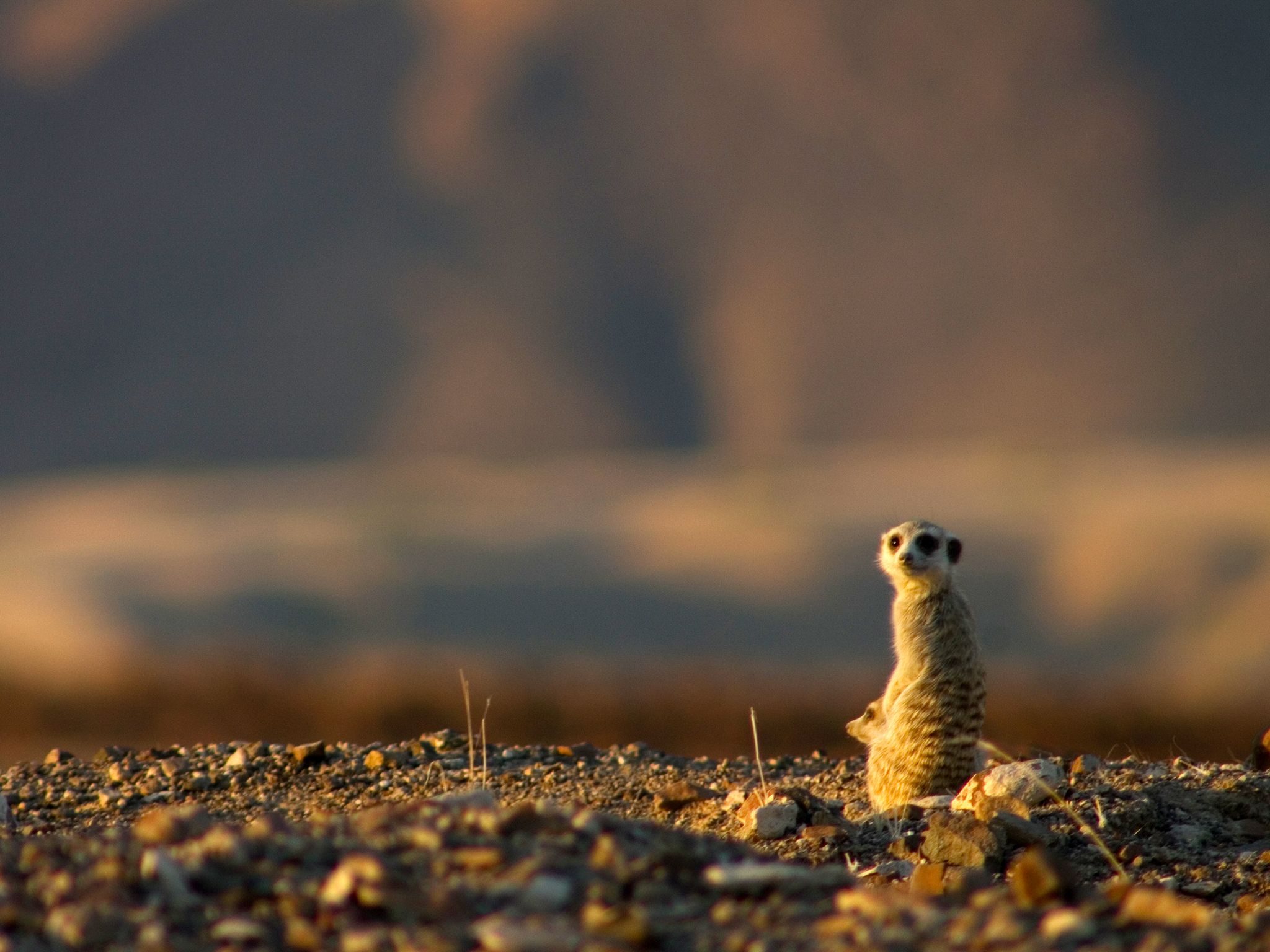 A meerkat on a ridge. This image is from Wild Namibia. [Photo of the day - سپتامبر 2014]