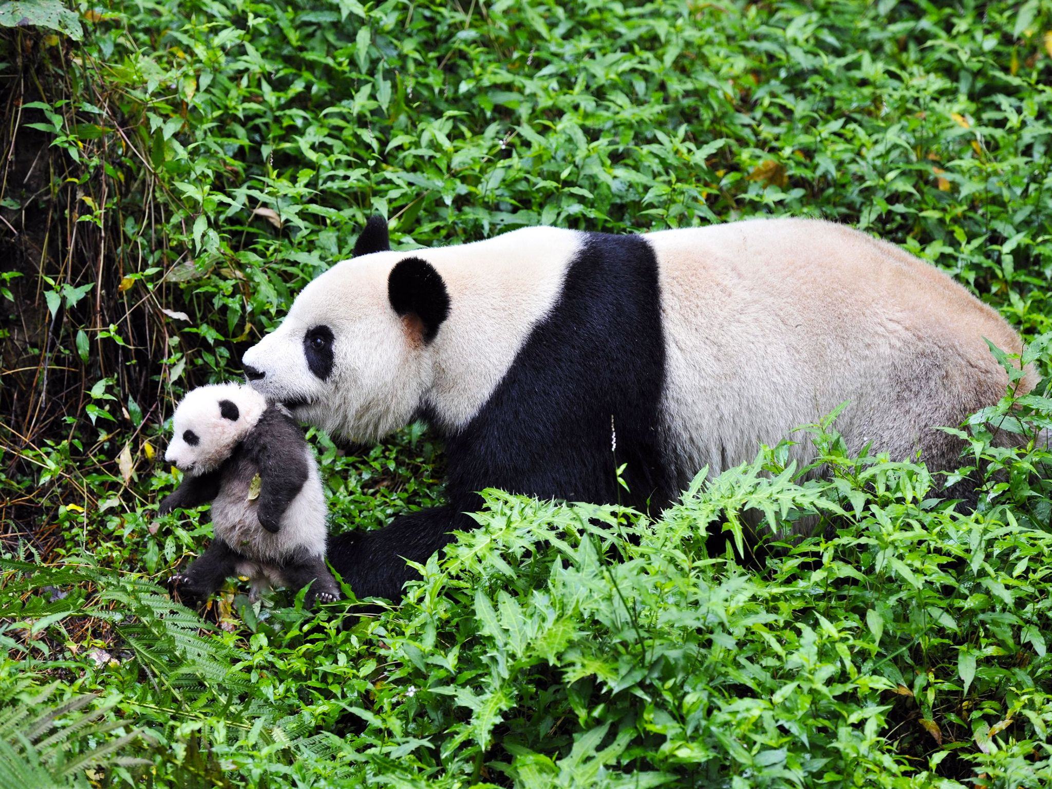Wolong Panda Breeding Centre, Sichuan Province, China: A mother panda carrying her cub. This... [Photo of the day - سپتامبر 2014]