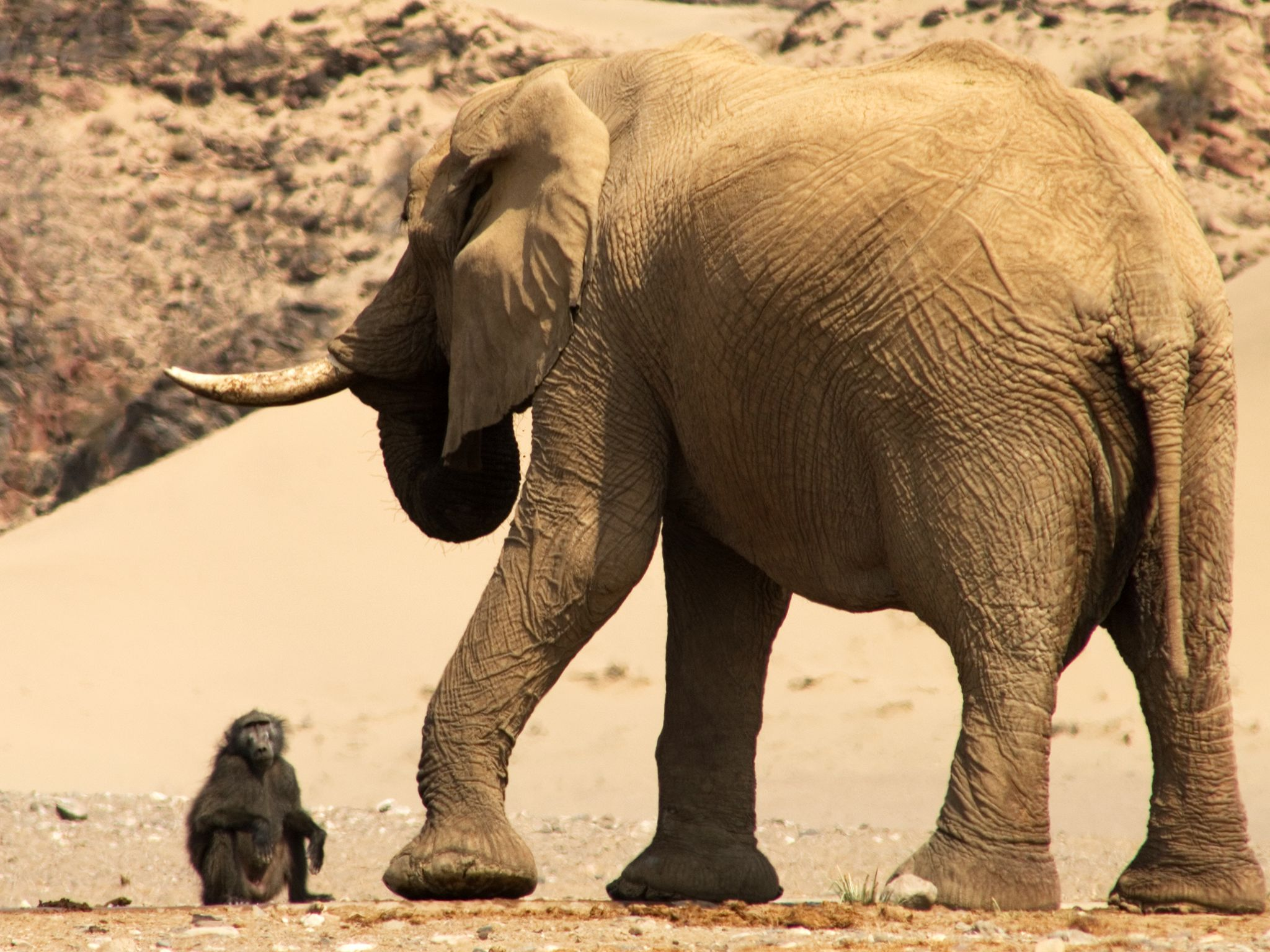 Elephant standing with baboon sitting on ground close by. This image is from Wild Namibia. [Photo of the day - سپتامبر 2014]