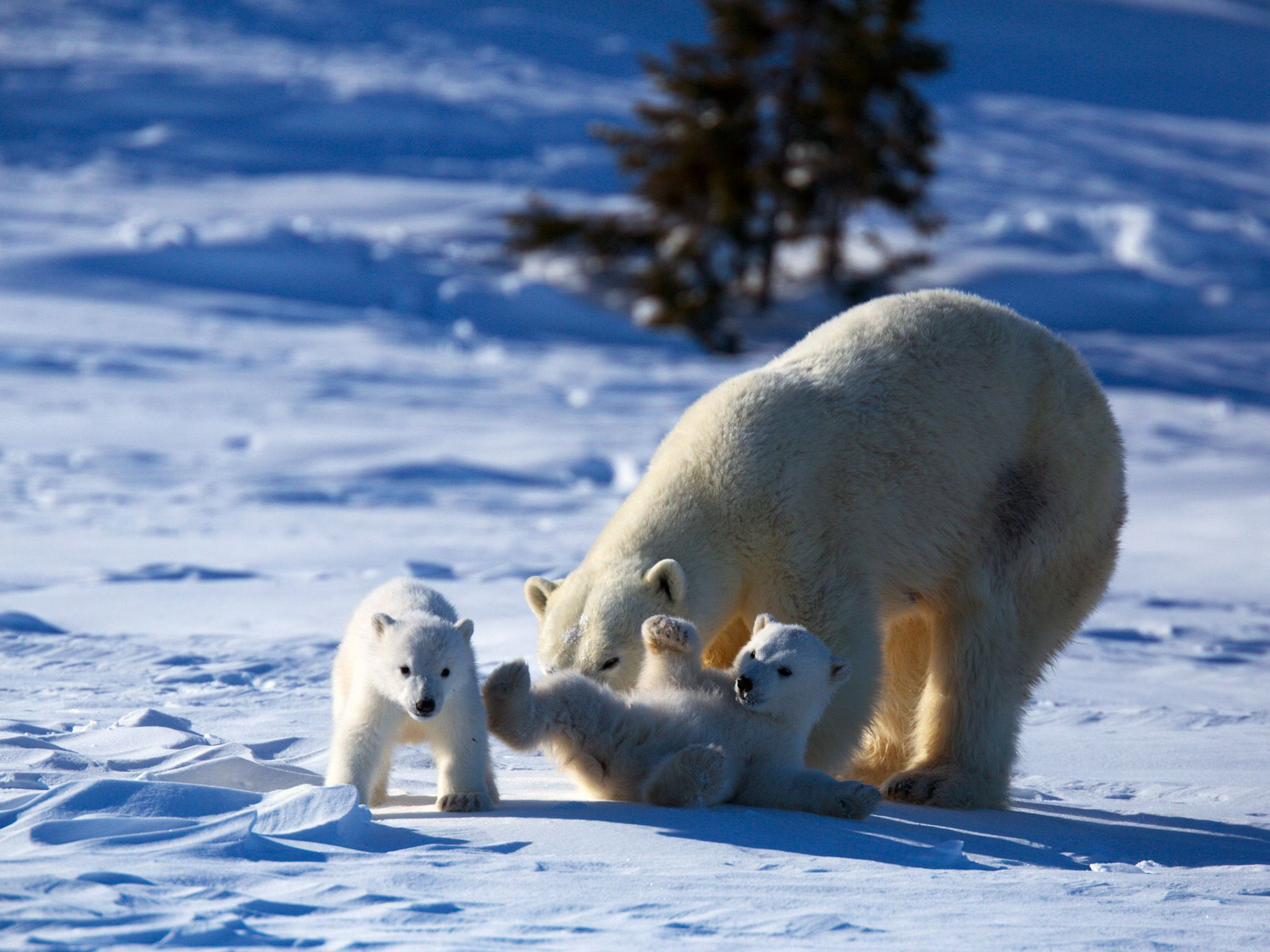 Mother polar bear and cubs. This image is from Wild Canada. [Photo of the day - October 2014]