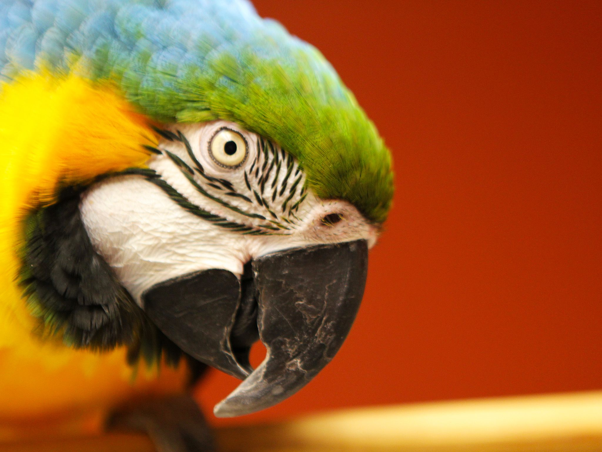 Dr. Kelleher's blue and gold macaw, Xander, sitting on a perch in the treatment room. This image... [Photo of the day - October 2014]