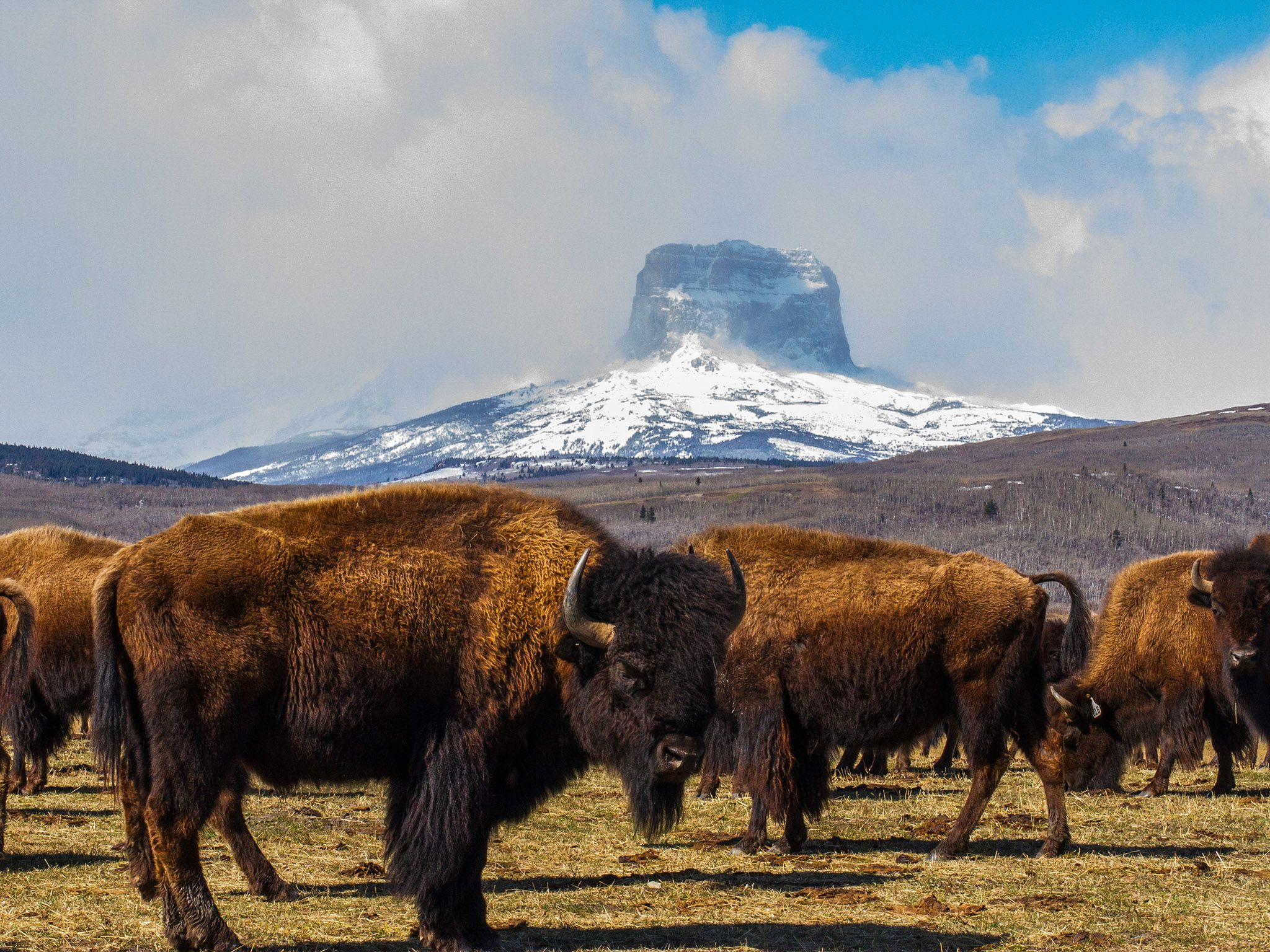 Buffalo herd in front of Castle Mountain. This image is from Wild Canada. [Photo of the day - October 2014]