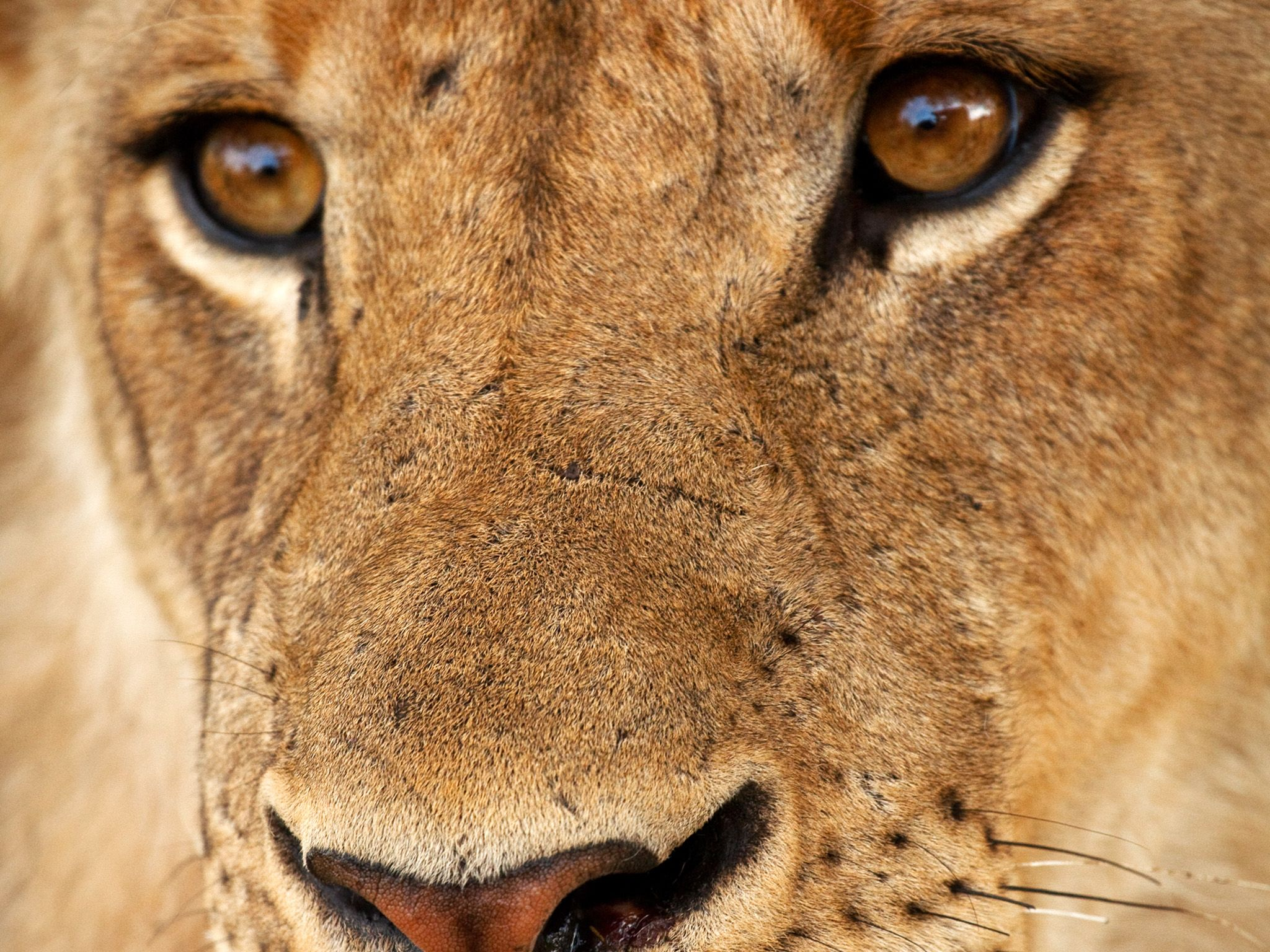Young lion face. Young males are expelled from the pride by the age of three. This image is from... [Photo of the day - October 2014]