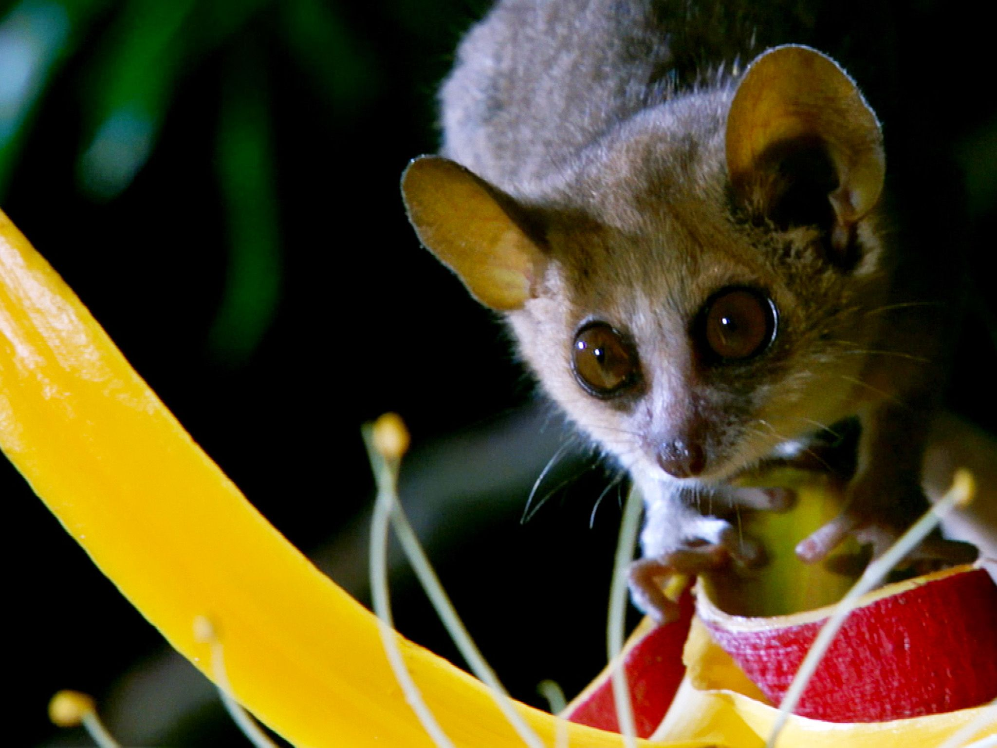 The mouse lemur weighs less than 60 grams.  This image is from Secrets of the Wild. [Photo of the day - October 2014]