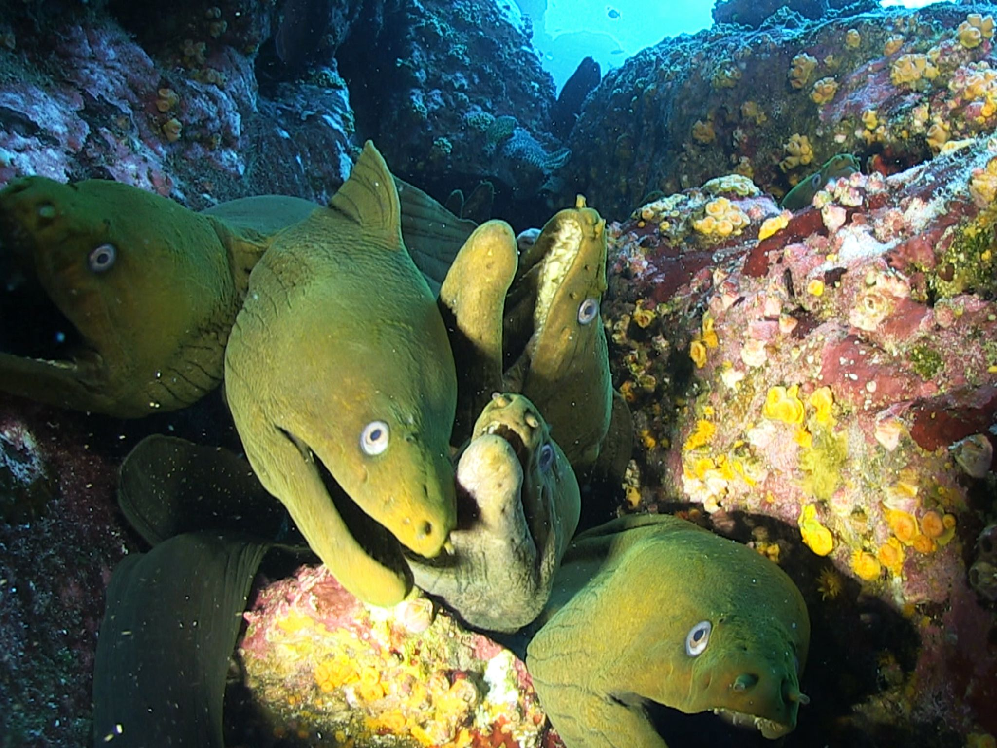 Socorro: Moray eels are carnivores and their diet consists mainly of other fish or cephalopods,... [Photo of the day - November 2014]