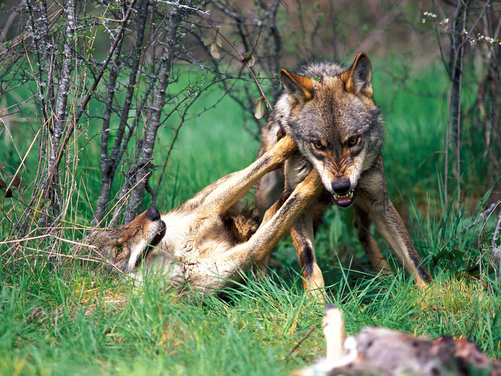 The Iberian wolf, a predator which can be found in forests and plains of northwestern Spain,... [Photo of the day - November 2014]