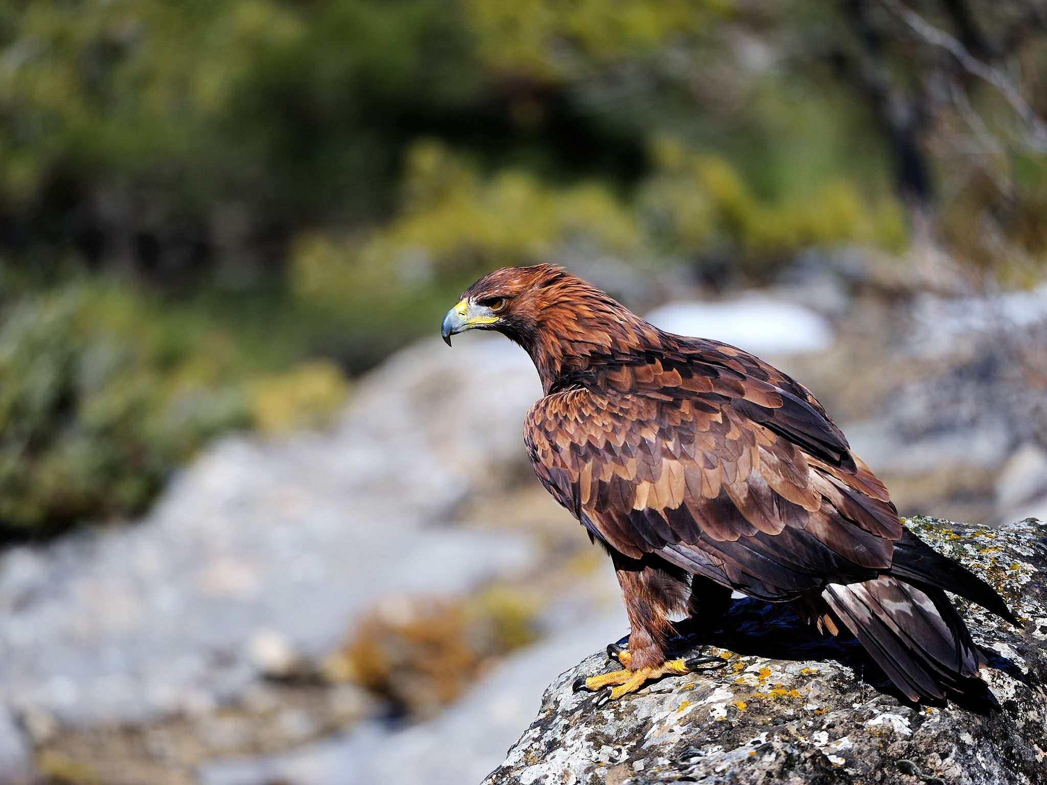 The magnificent, sharp-eyed Golden eagle is a common bird of prey of the northern hemisphere. It... [Photo of the day - November 2014]