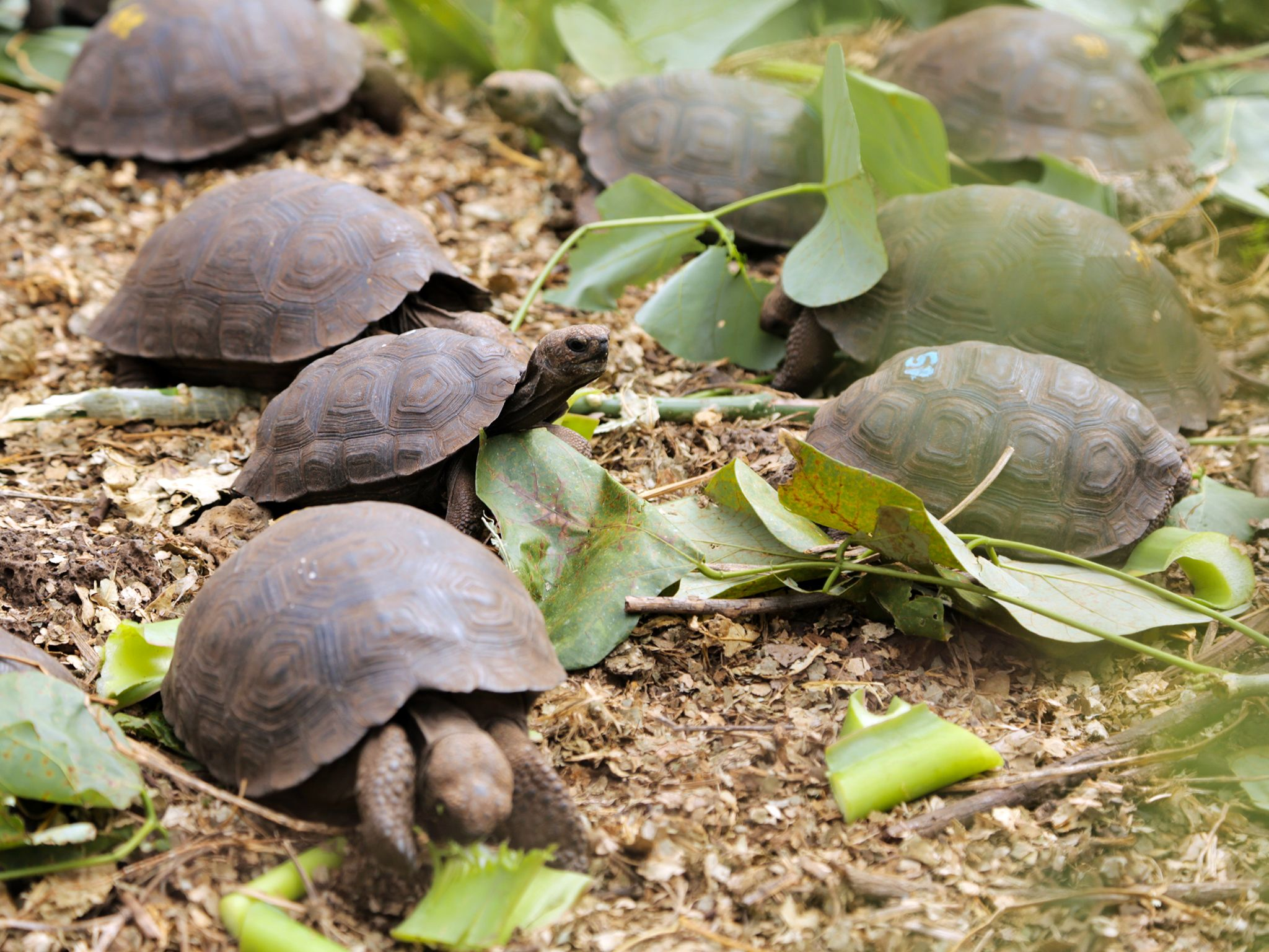 Puerto Ayora, Santa Cruz Island, Galapagos, Ecuador: Baby giant Galapagos tortoises feast on... [Photo of the day - December 2014]