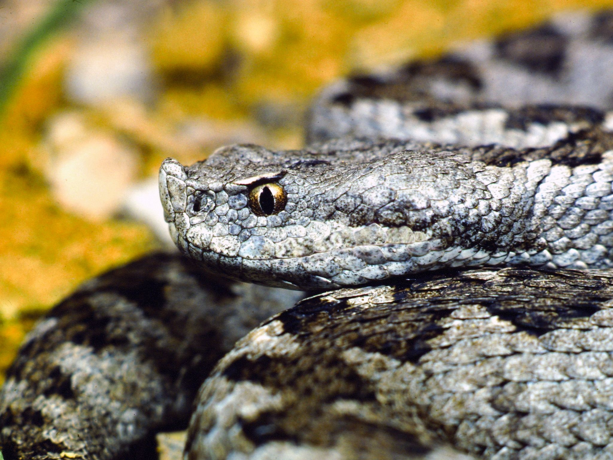 Spain: The Lataste's viper can be seen day or night but usually it hides under rocks. This... [Photo of the day - December 2014]