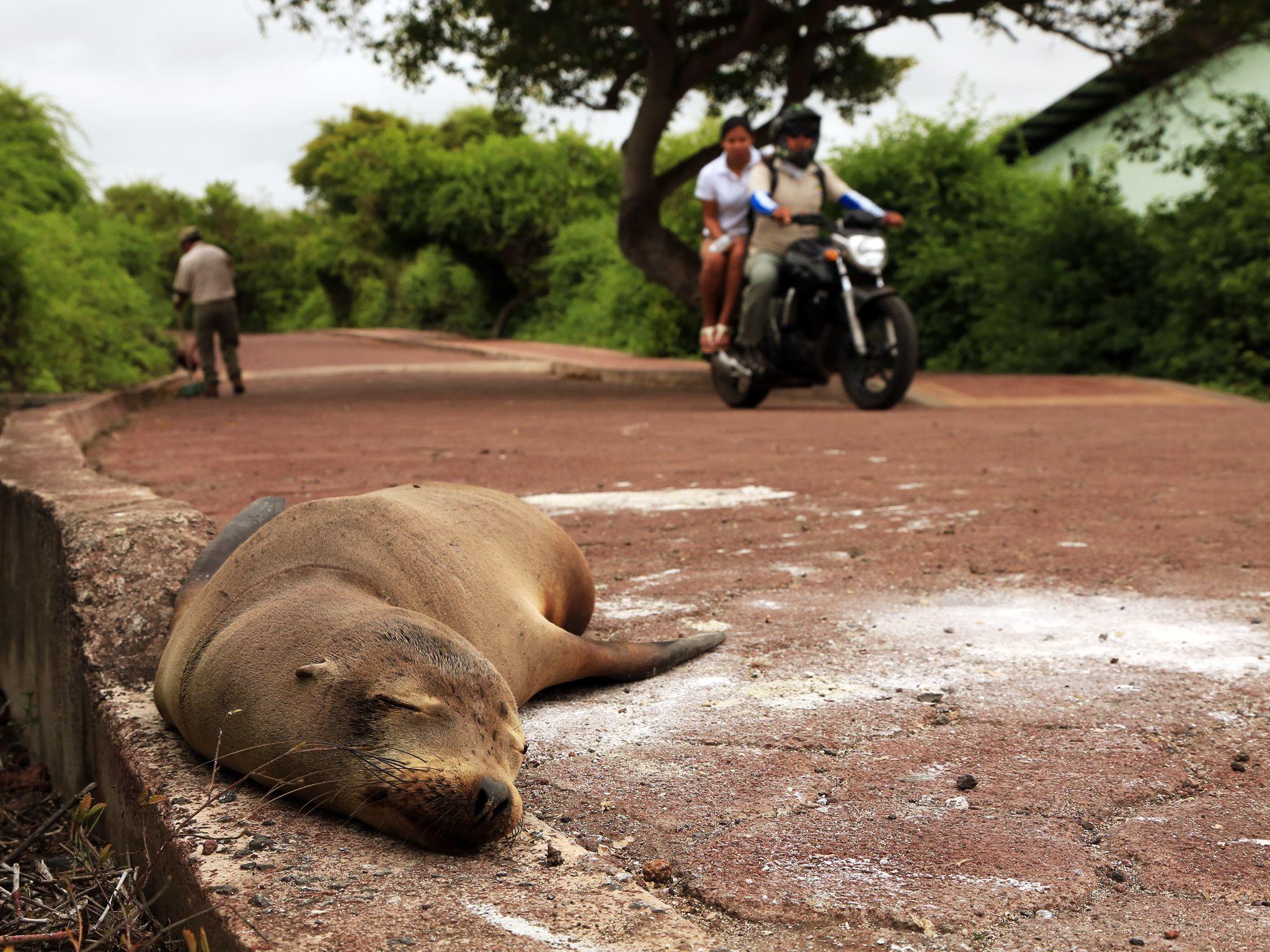 Puerto Ayora, Santa Cruz Island, Galapagos, Ecuador: A sea lion sleeps on the road at Galapagos... [Photo of the day - December 2014]