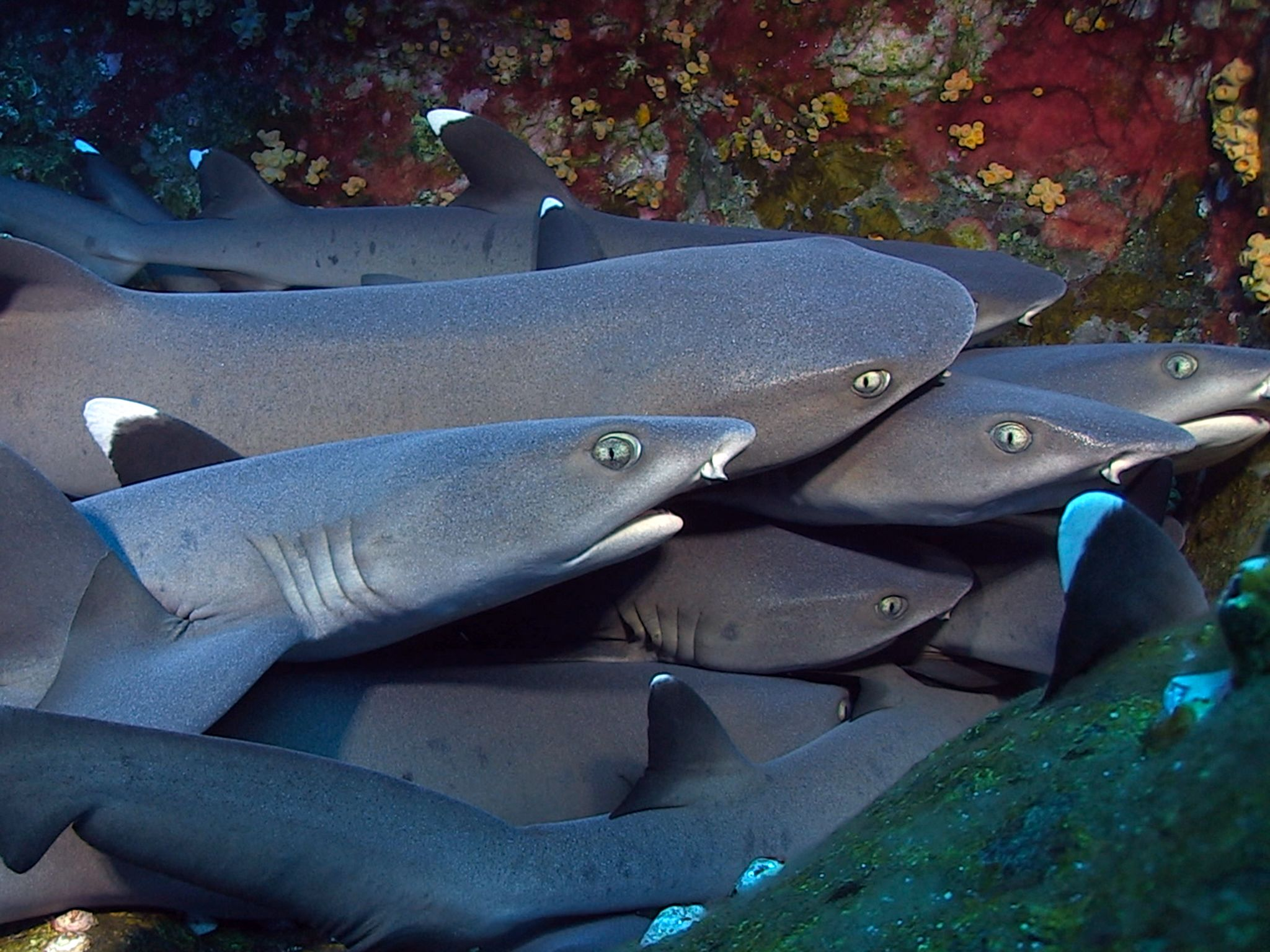 Socorro:  The whitetip reef shark (Triaenodon obesus) is well-known for its habit of lying... [Photo of the day - December 2014]