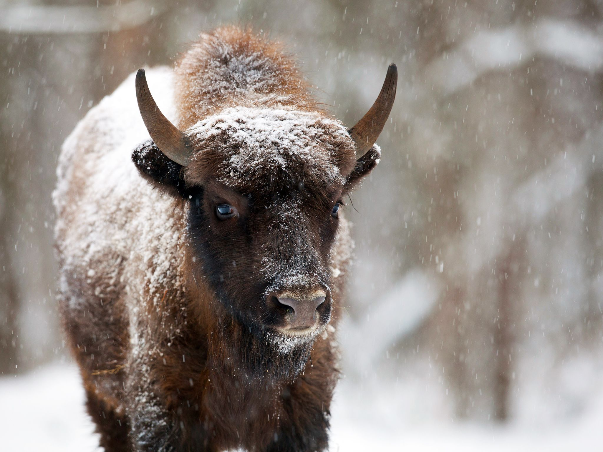 Khoiniki, Belarus: A bison stands alone getting covered by snow. This image is from Urban Jungle. [Photo of the day - December 2014]