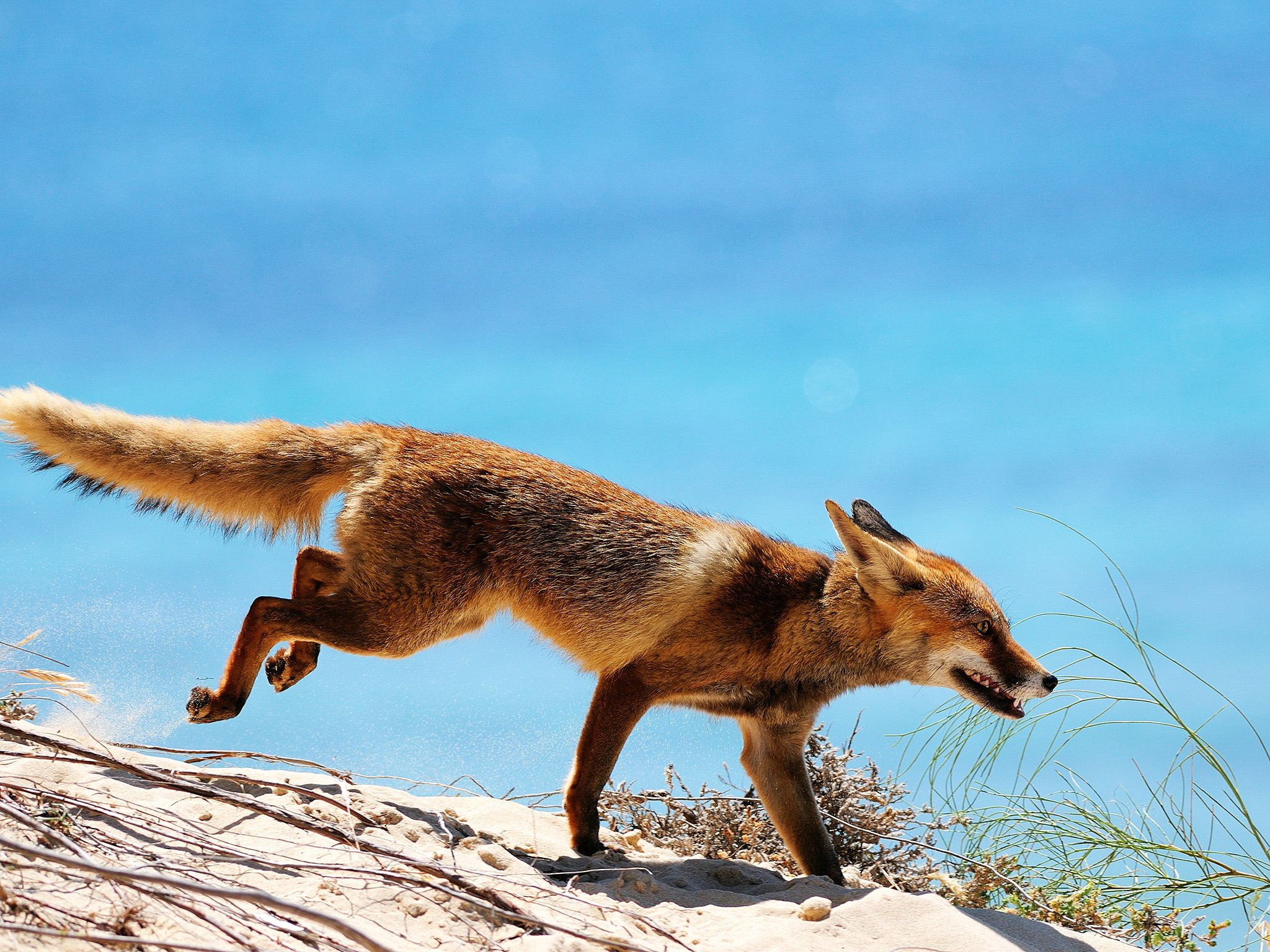 Spain: After having travelled more than 700 kilometers a fox eventually reaches the Doñana near... [Photo of the day - December 2014]