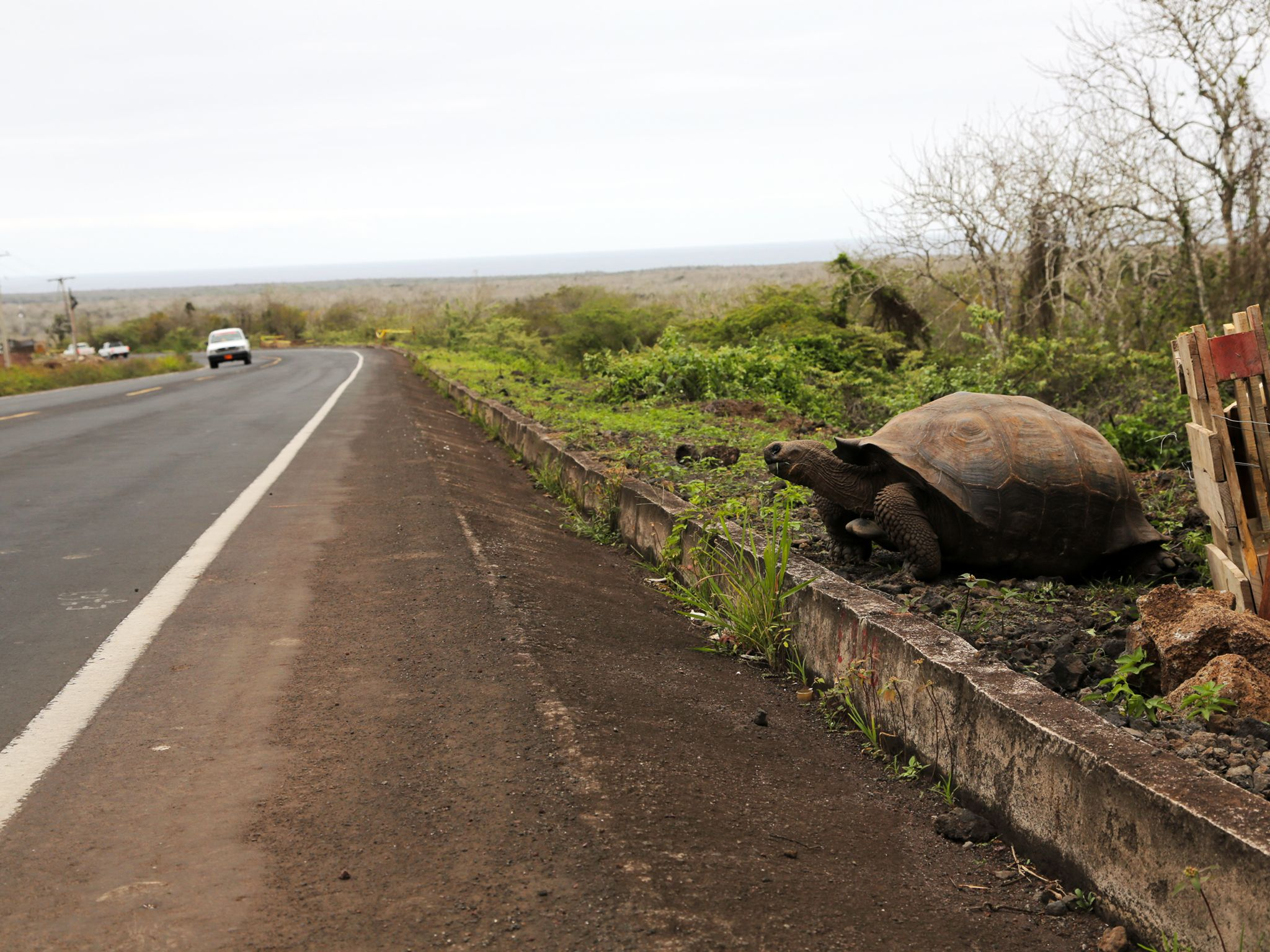 Santa Cruz Island, Galapagos, Ecuador: An approaching car interrupts a feeding Galapagos... [Photo of the day - December 2014]