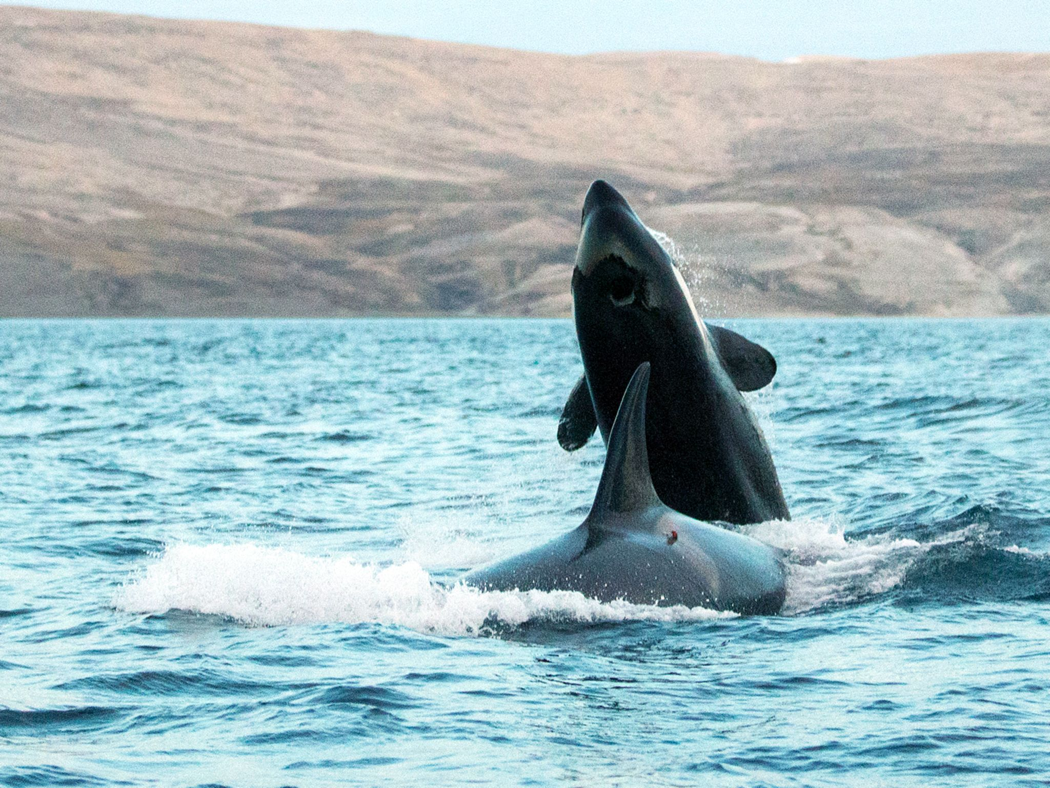 Two killer whales.  This image is from Invasion of the Killer Whales. [Photo of the day - December 2014]