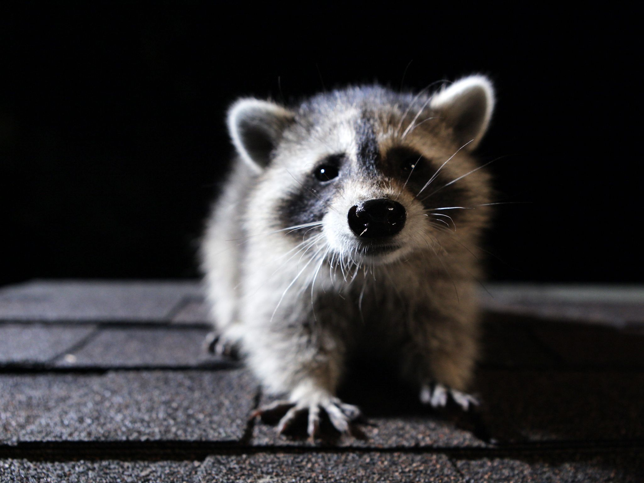 Washington, D.C.: A raccoon on a roof at night. This image is from Raccoon: Backyard Bandit. [Photo of the day - January 2015]