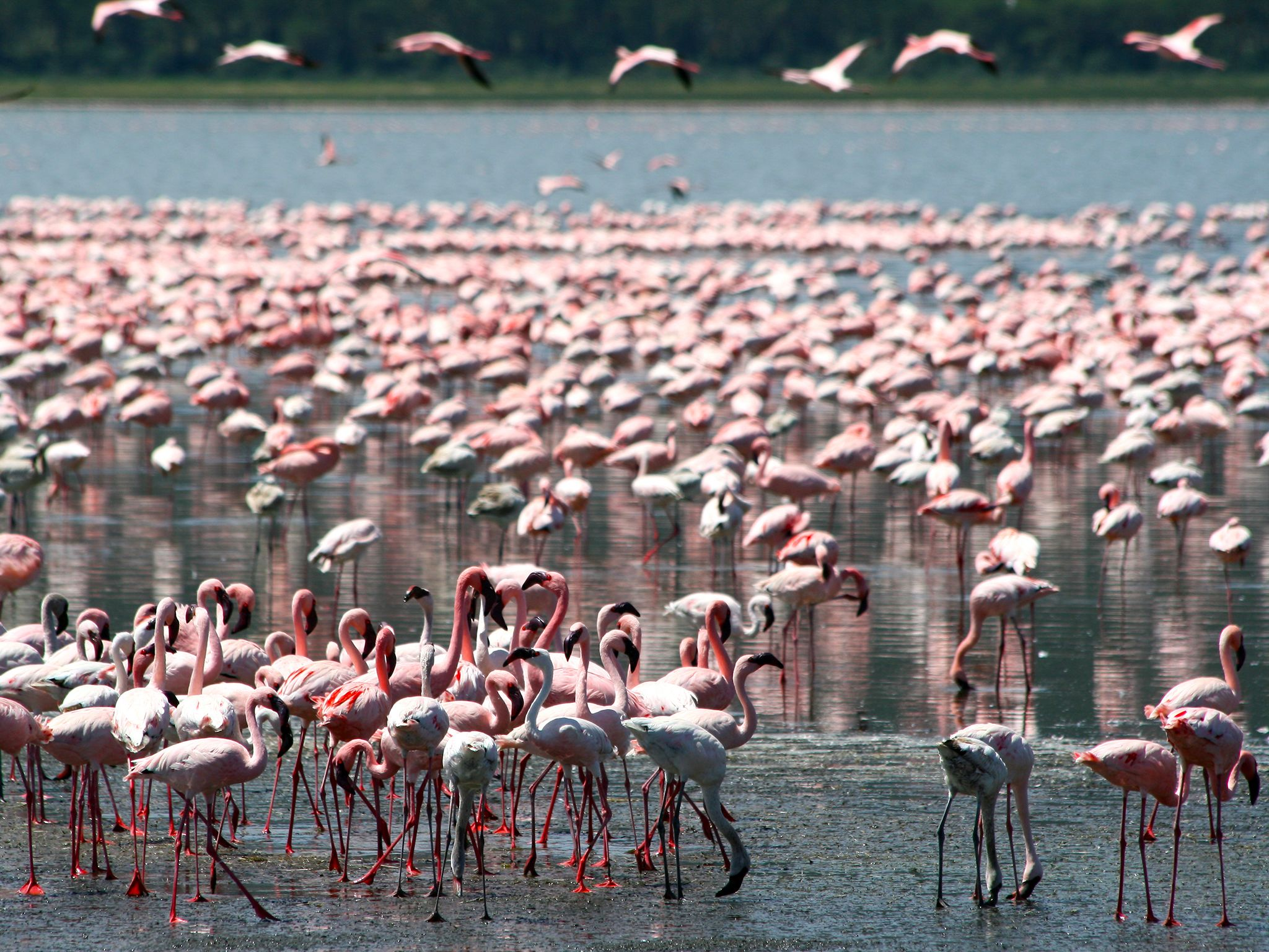 Nakuru Lake, Kenya: The Nakuru Lake's abundance of algae attracts the vast quantity of flamingos... [Photo of the day - ژانویه 2015]