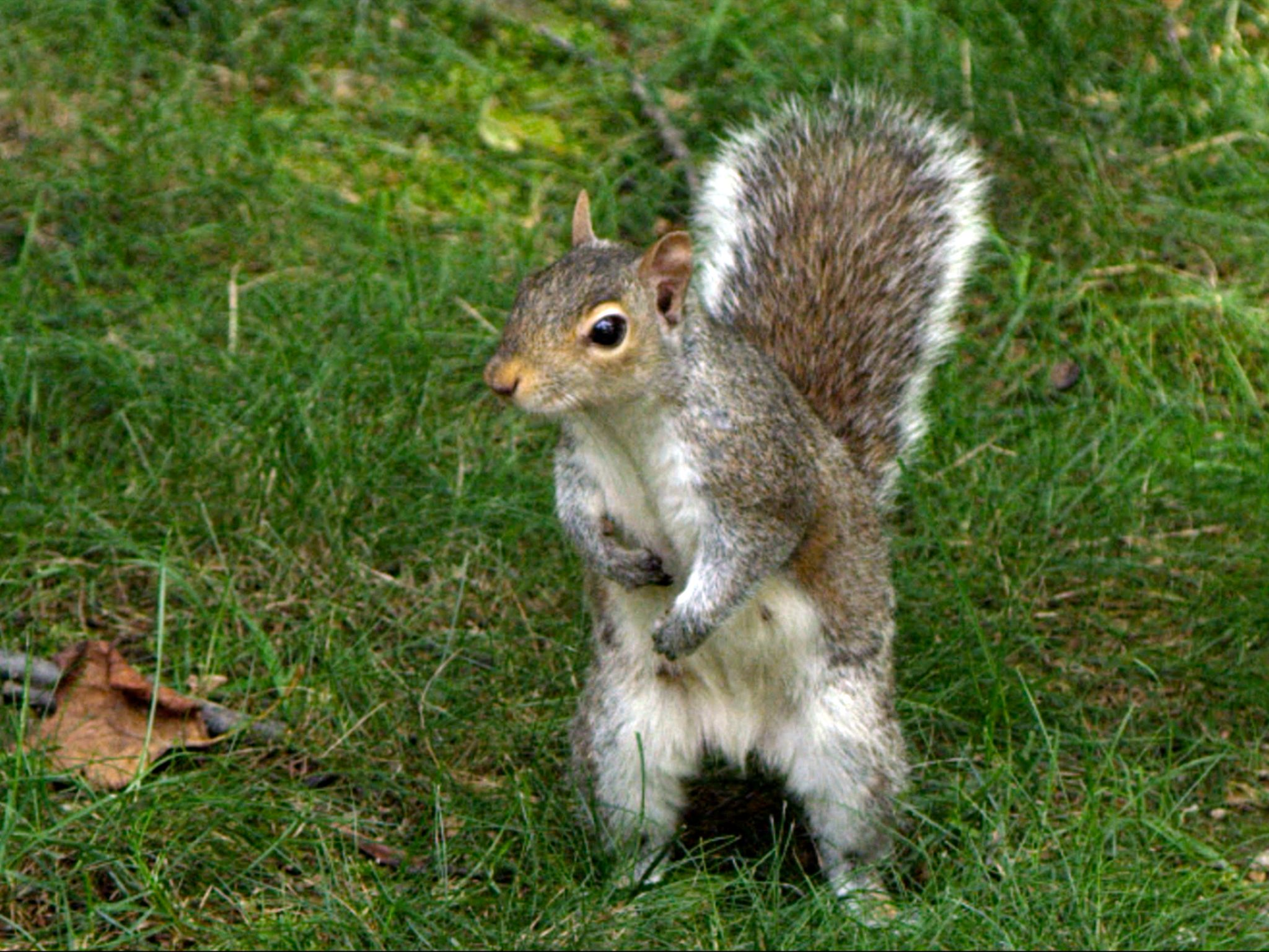 A squirrel in the grass. This image is from Super Squirrel. [Photo of the day - January 2015]