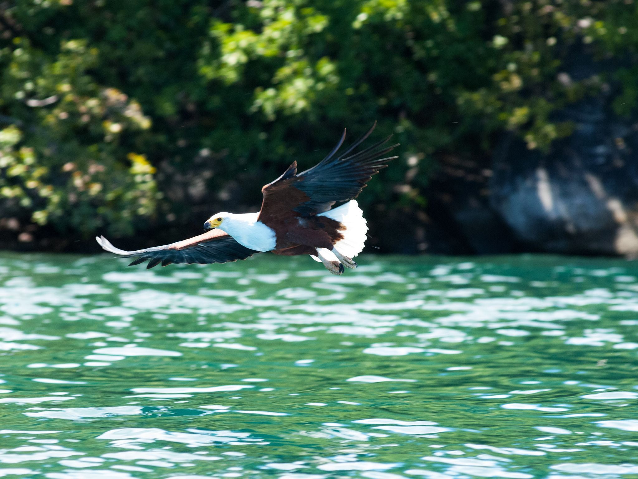 Malawi: A Fish Eagle flies over water in Malawi. This image is from Predator Fails. [Photo of the day - January 2015]