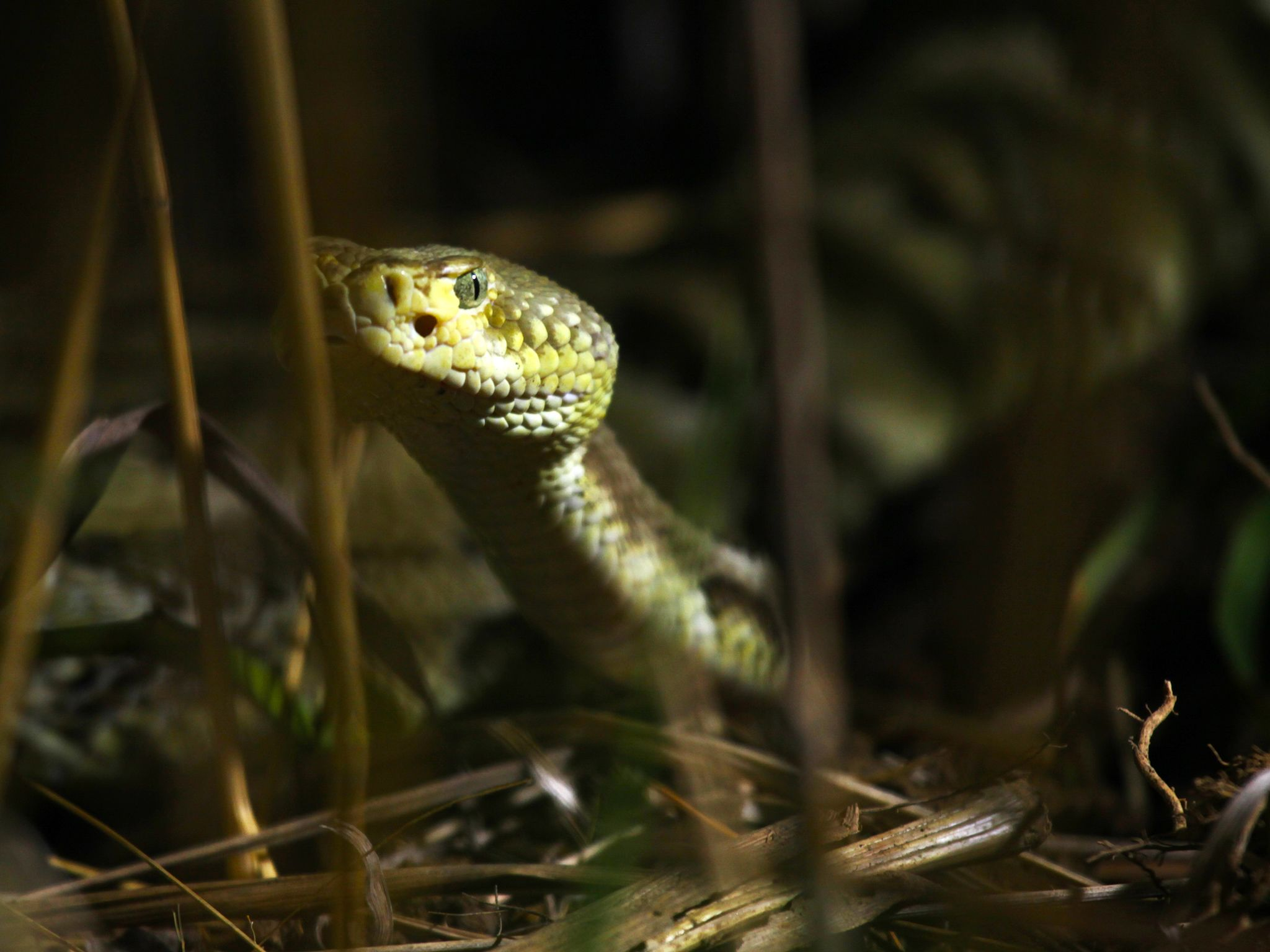 Prairie du Chien, WI USA: A timber rattlesnake moves through tall grass. This image is from... [Photo of the day - January 2015]