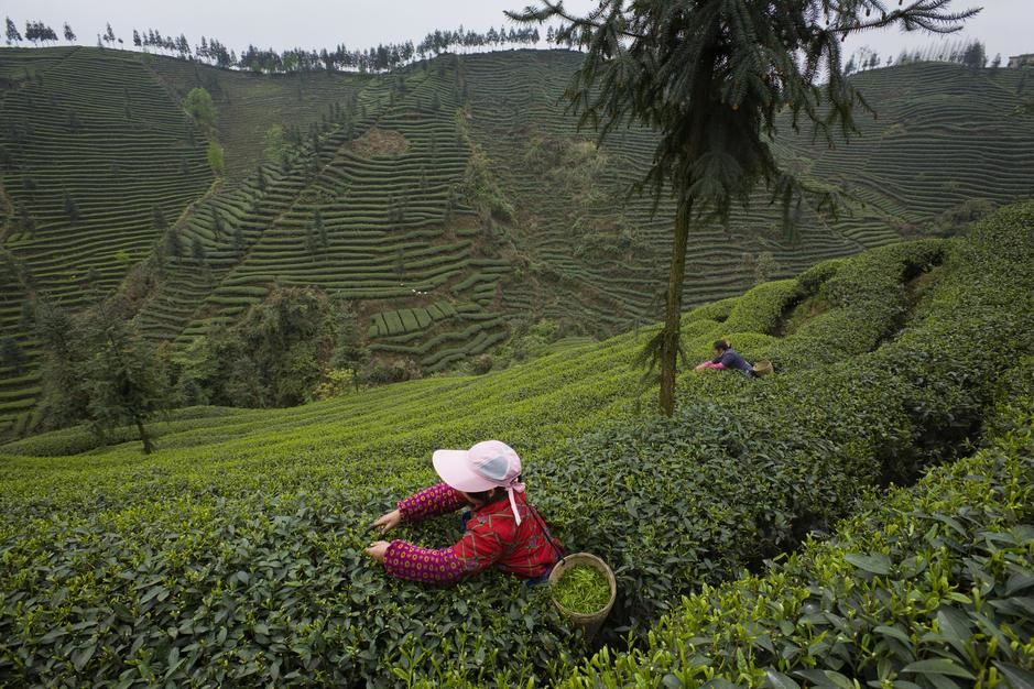 Harvesting tea leaves at the Mingshan Ecological Tea Garden in Sichuan. [Photo of the day - April 2011]