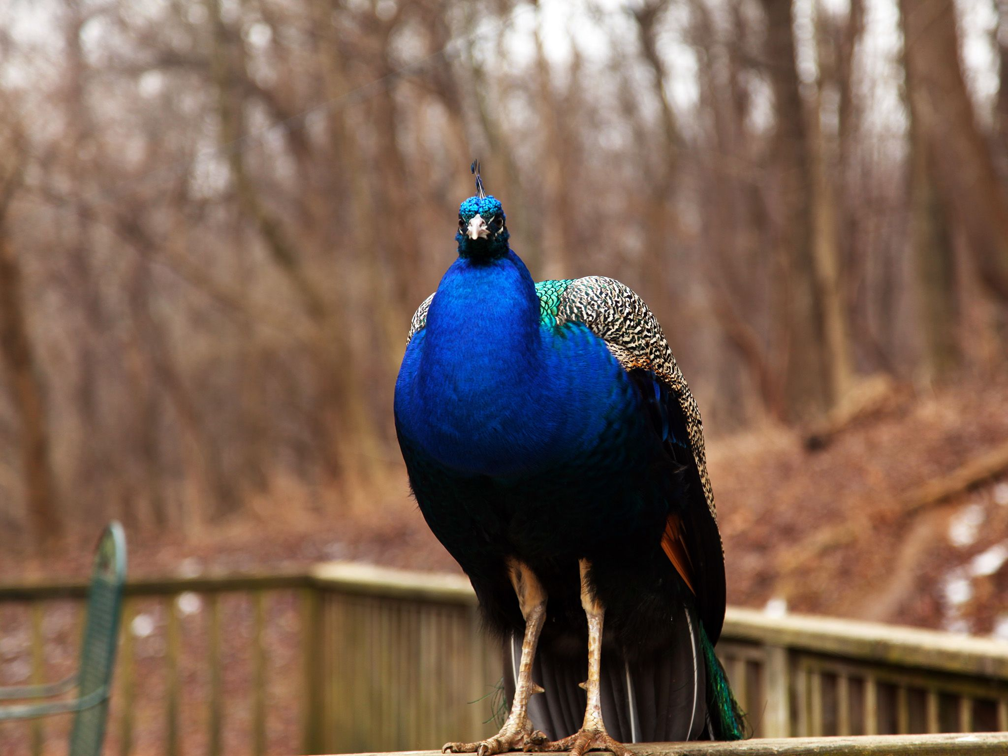 Henderson, Ky: This peacock is one of the more unusual residents at Misfit Island. This image is... [Photo of the day - ژانویه 2015]