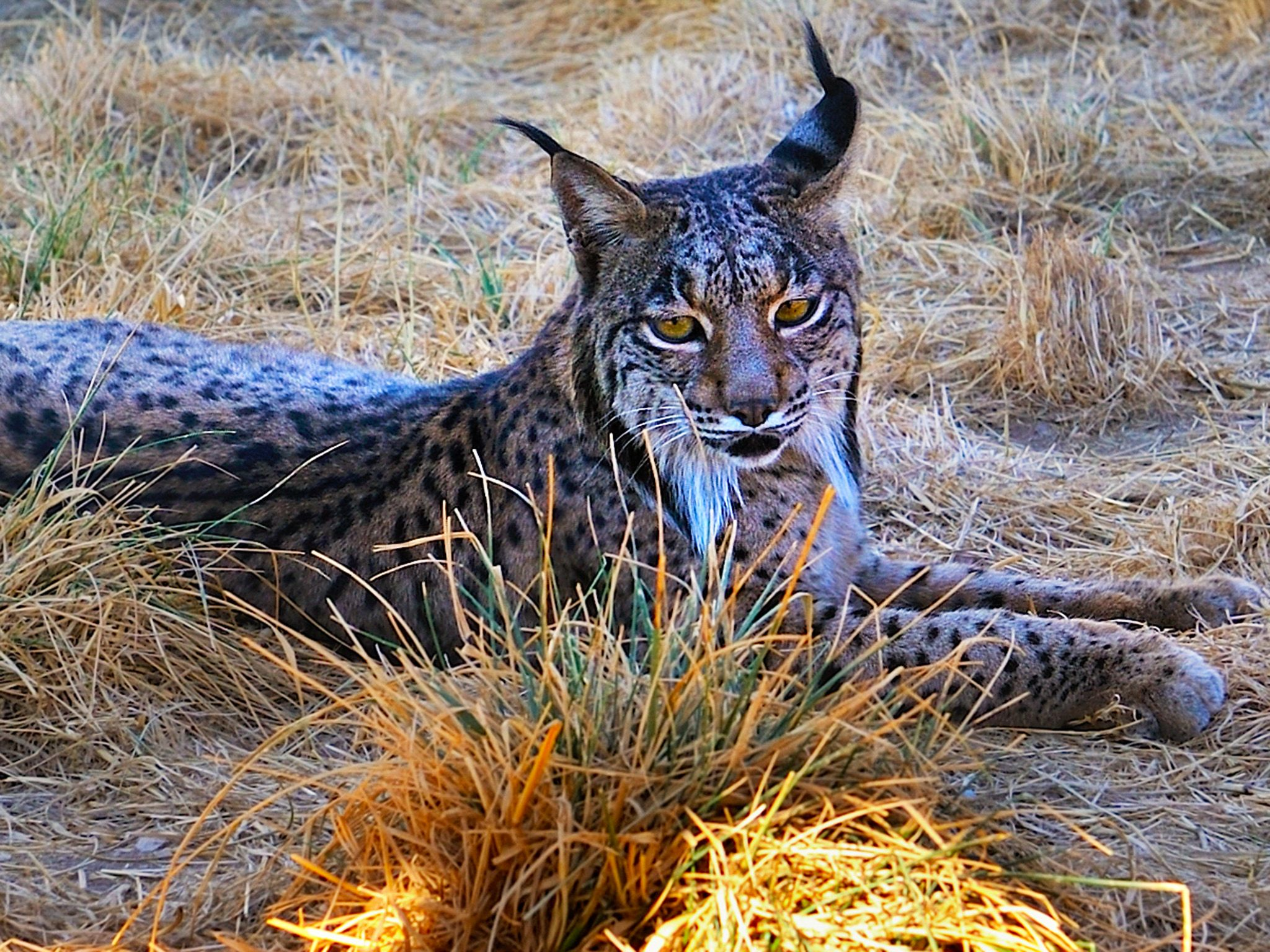 Iberian Lynx.  Encouraged and pushed by the EU's conservation policy, local authorities,... [Photo of the day - February 2015]