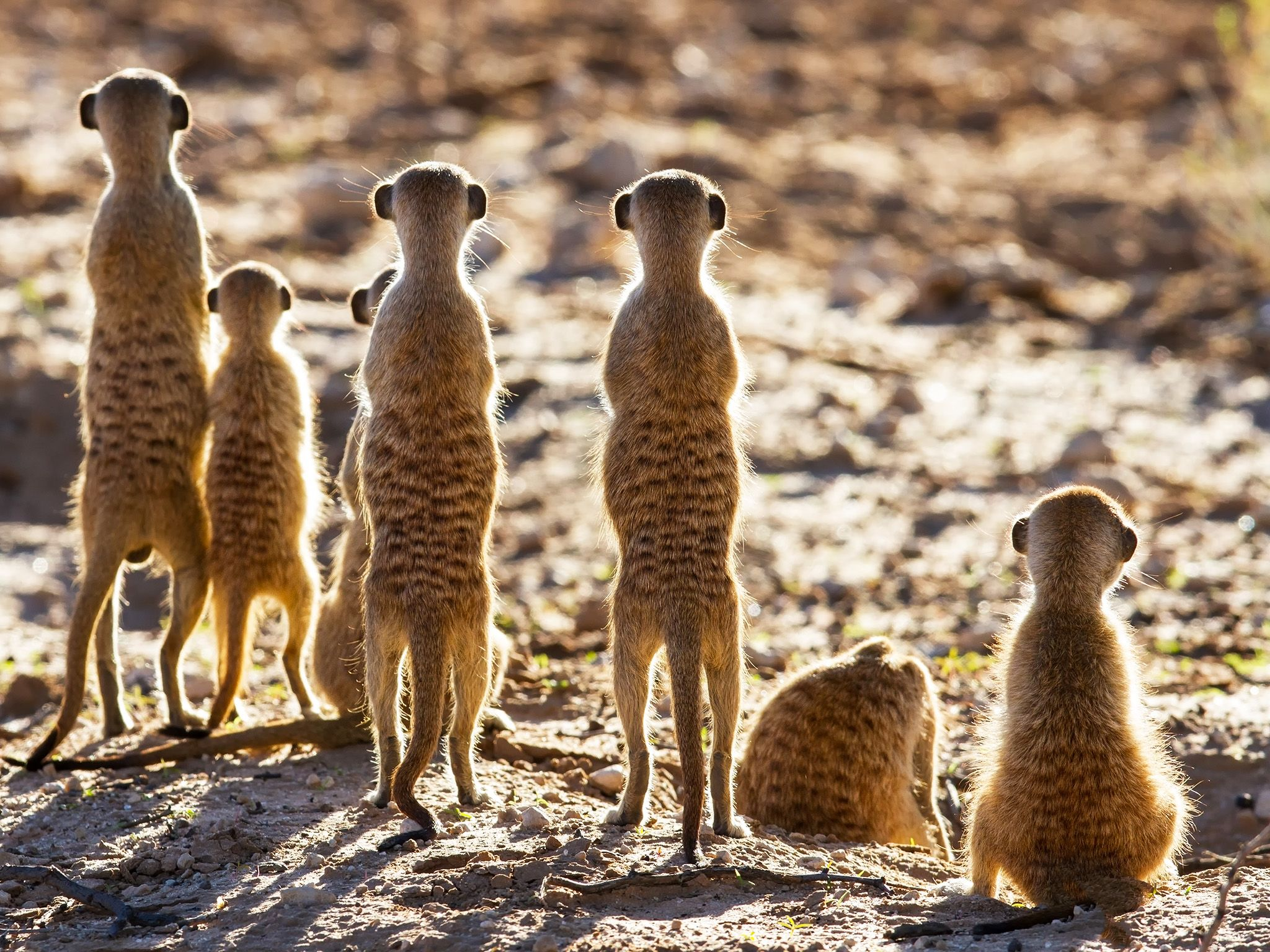 Meerkat sentries stand guard over their home, prepared to take on any less-than-friendly... [Photo of the day - February 2015]