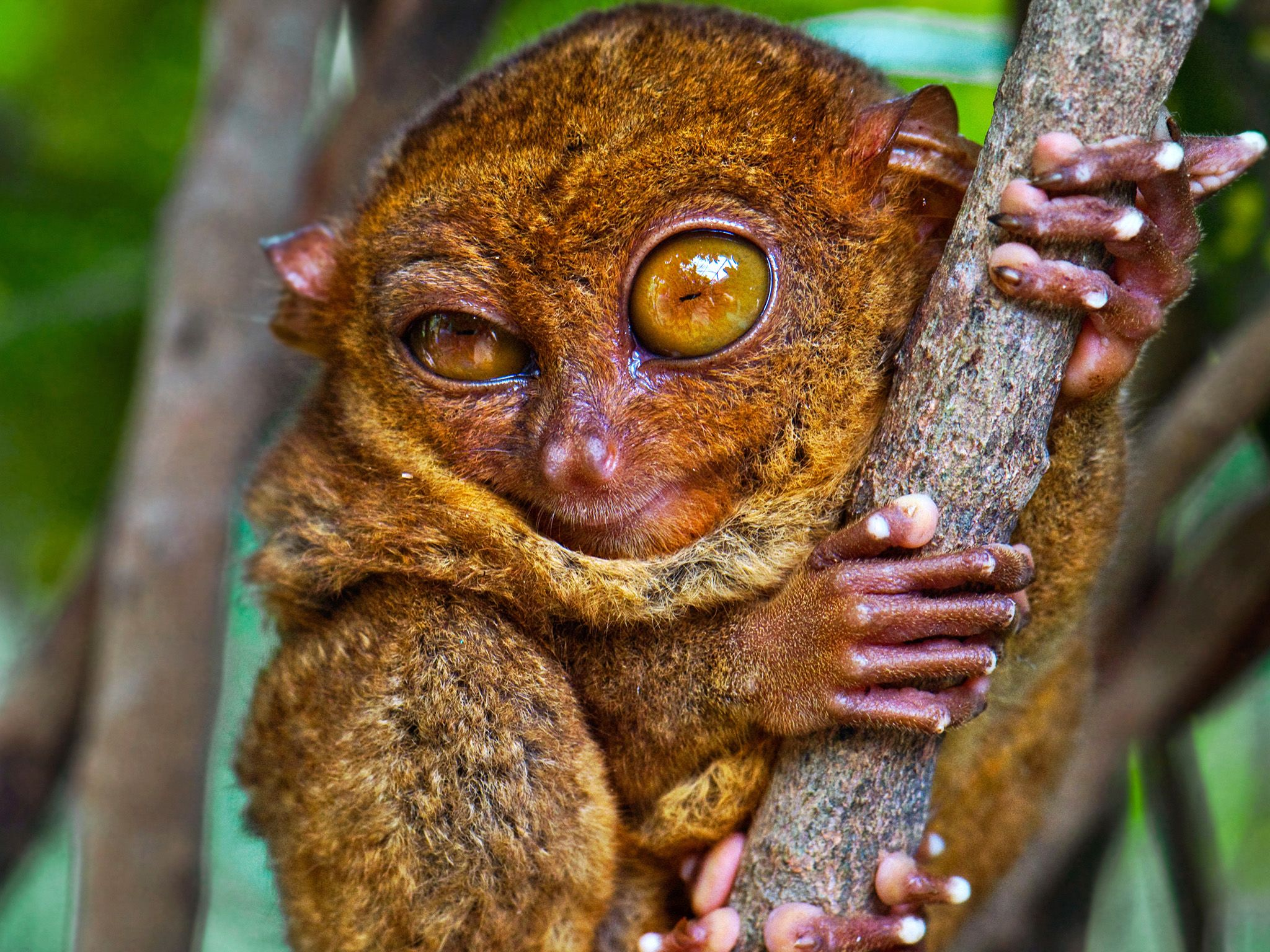 Don't be fooled by this winking tarsier; its eyes, hands, and legs are part of what make it a... [Photo of the day - February 2015]
