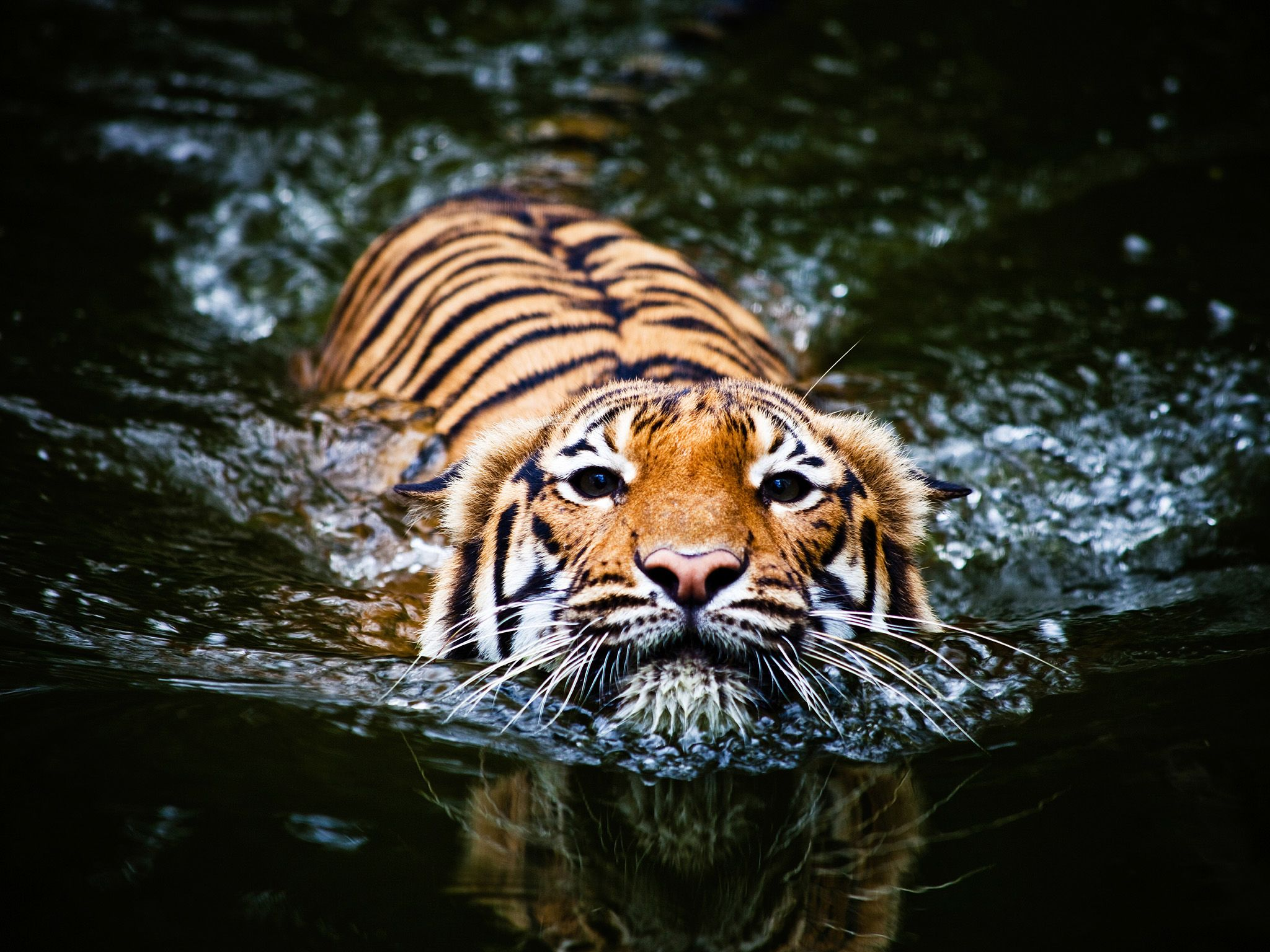 A tiger swimming, which they love to do, shows that they may have an advantage in a future water... [Photo of the day - February 2015]