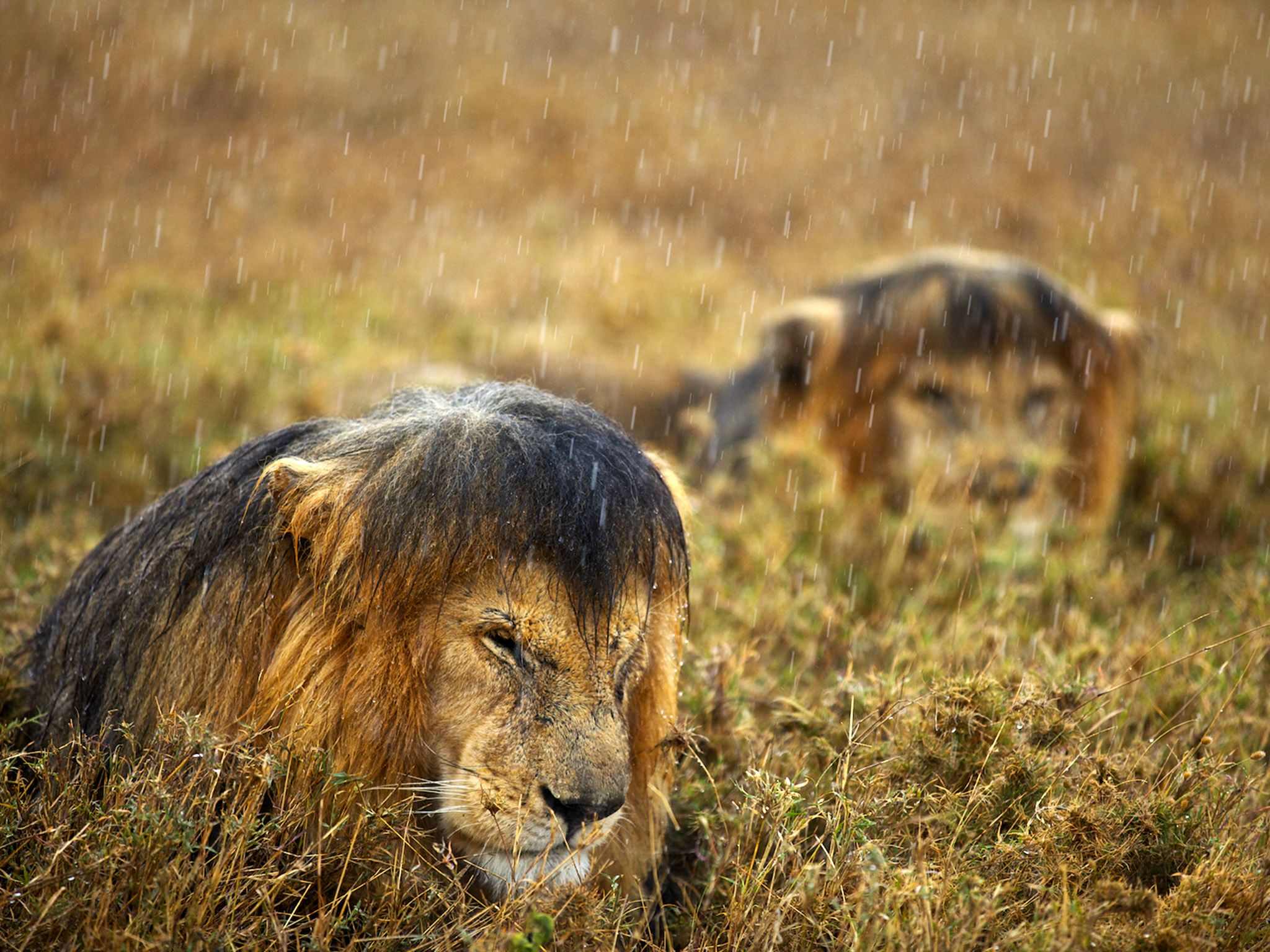 Lions getting soaked by the rain in Serengeti National Park, Tanzania. This image is from Lion... [Photo of the day - February 2015]