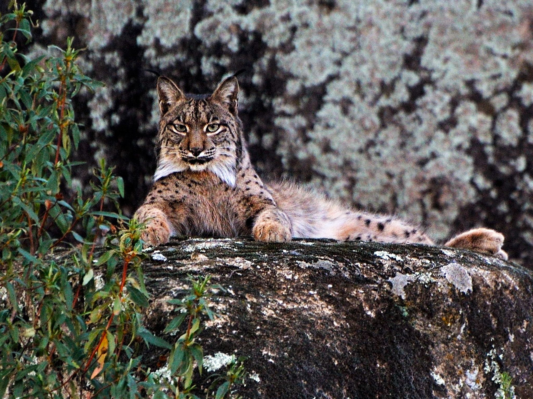 Iberian Lynx in Sierra Morena.  Encouraged and pushed by the EU's conservation policy, local... [Photo of the day - February 2015]